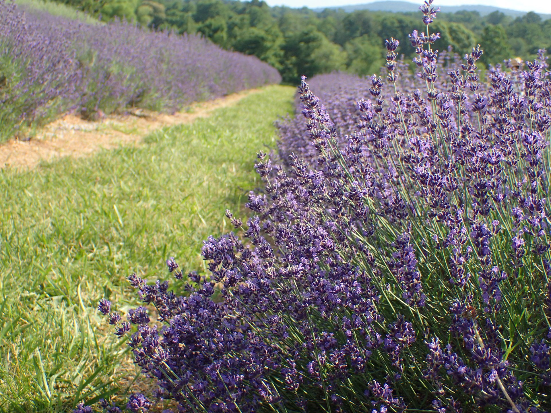 Best time to see Maryland Lavender Festival in Maryland 2020