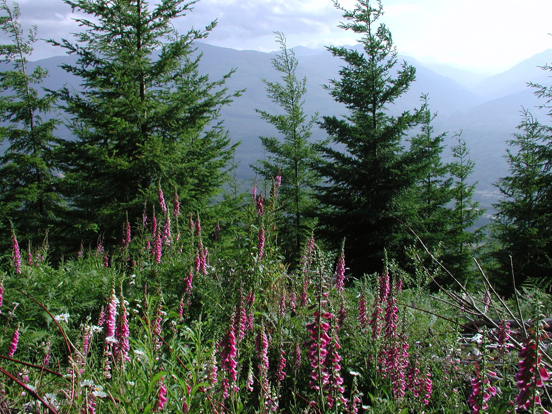 Lupine of the Skagit 2020