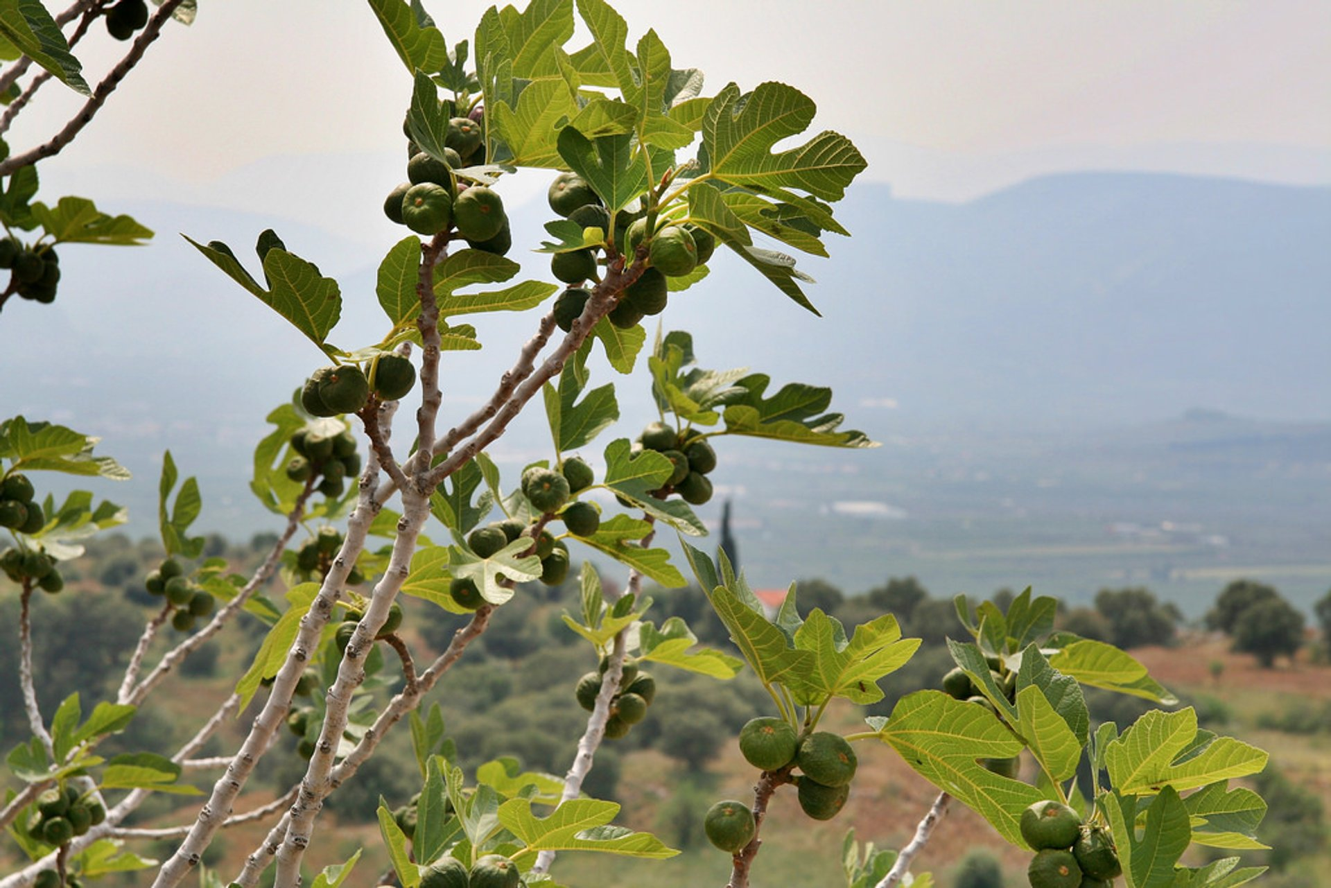 Fig Season in Crete 2020 - Best Time