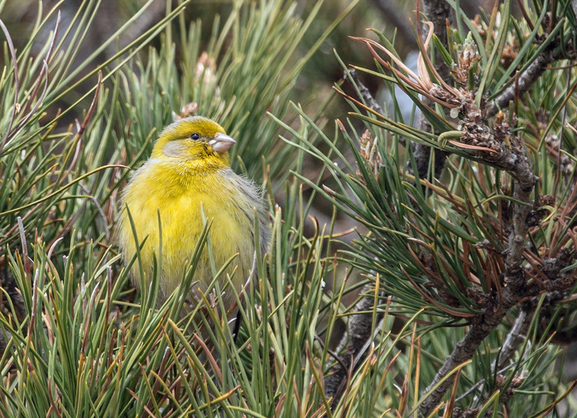 Atlantic Canary Breeding in Canary Islands - Best Season 2019