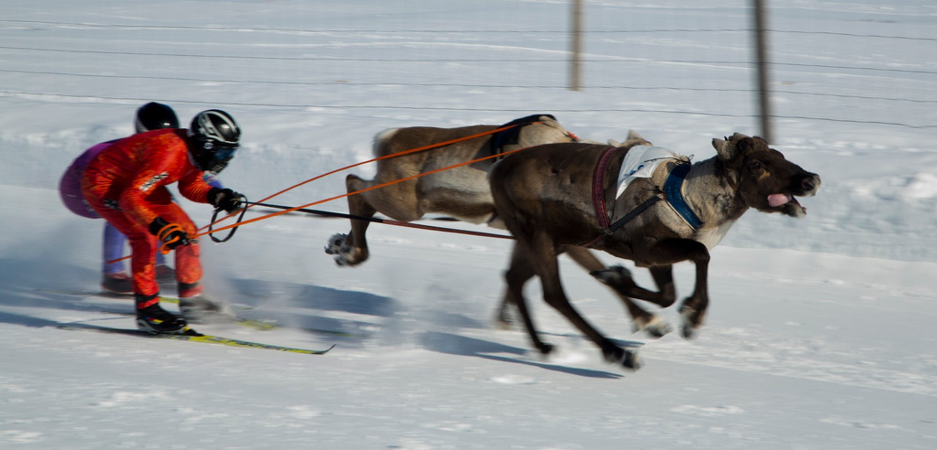 Best time to see World Reindeer Racing Championships