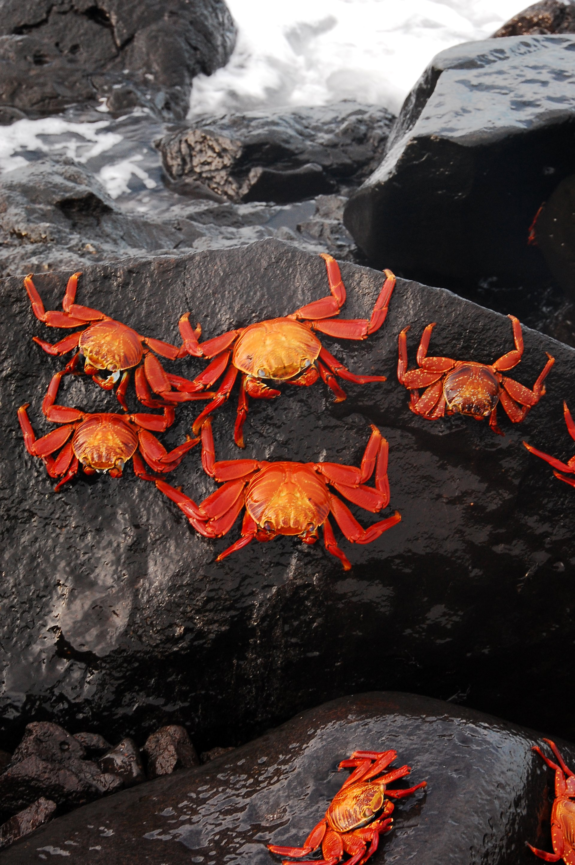 Red Rock Crab in Galapagos Islands - Best Season