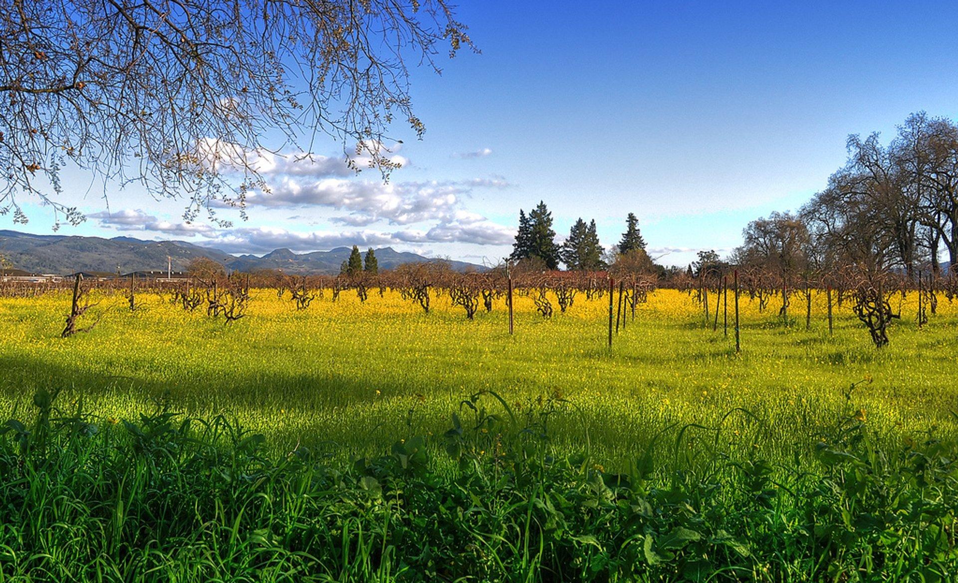 Napa vineyard with mustard flowers