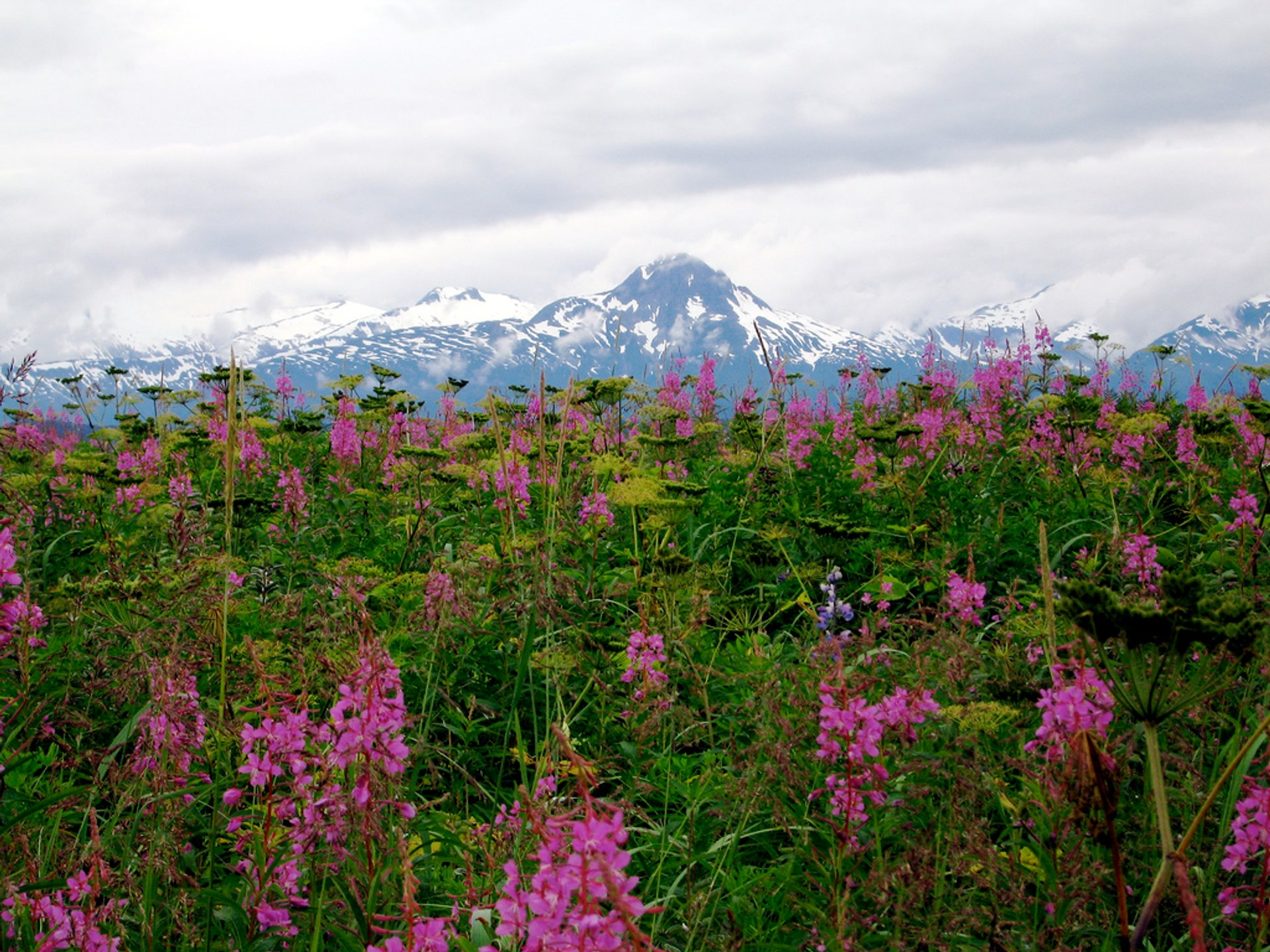 Fireweed and mountains 2020