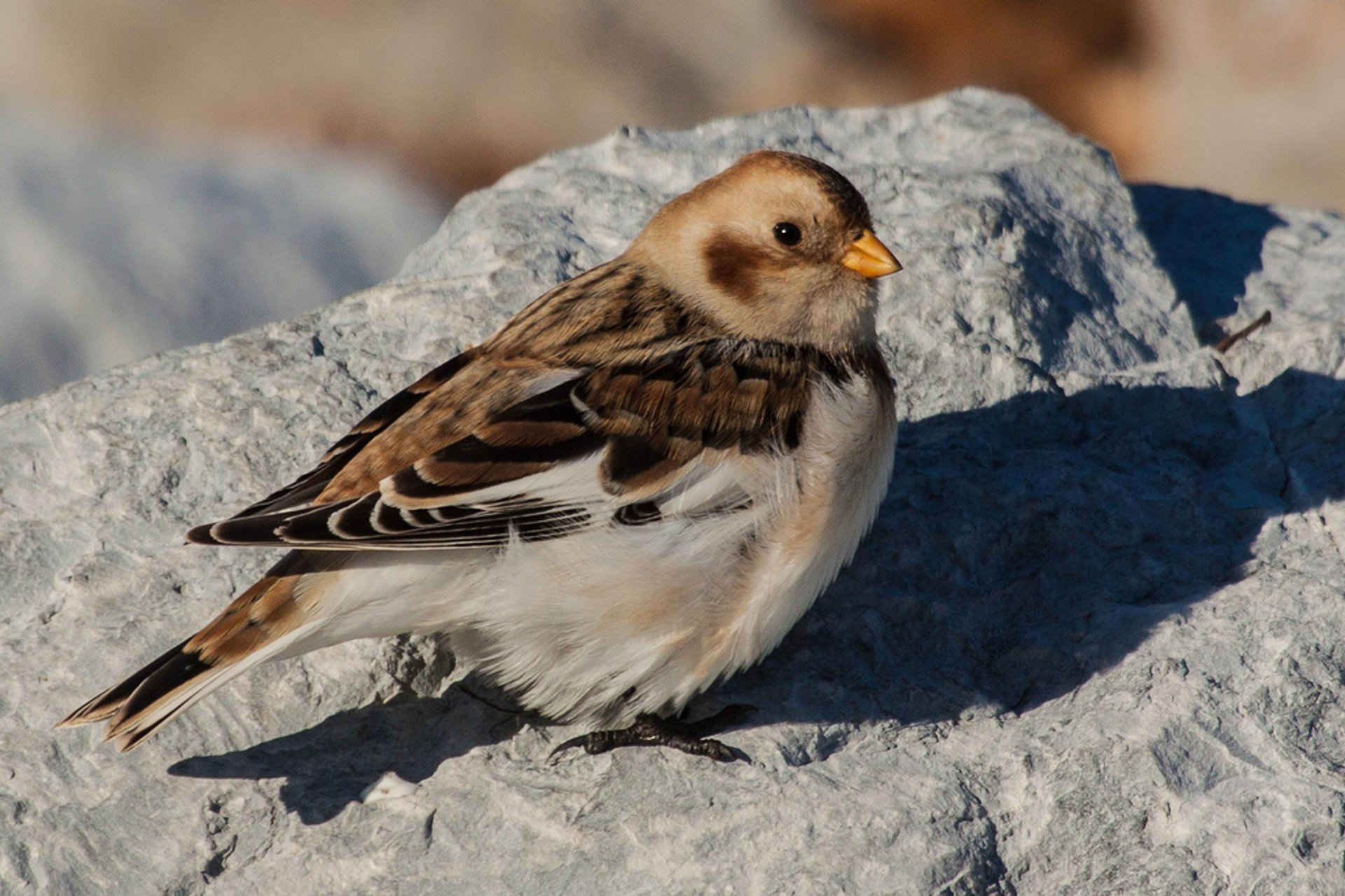 Snow Buntings in Wales - Best Time