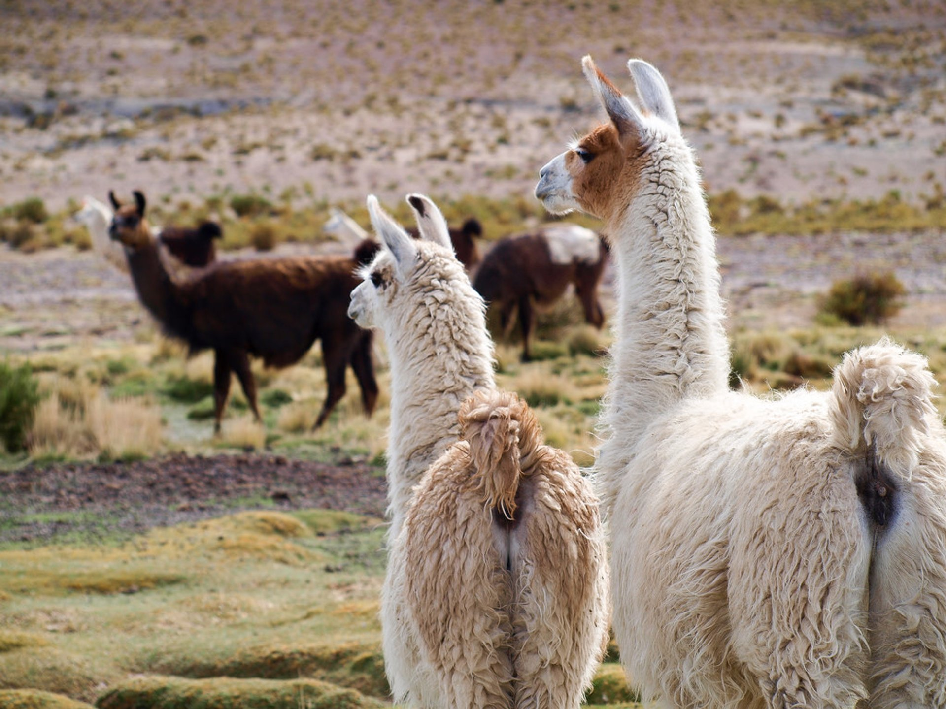 Llamas in Bolivia - Best Season 2019