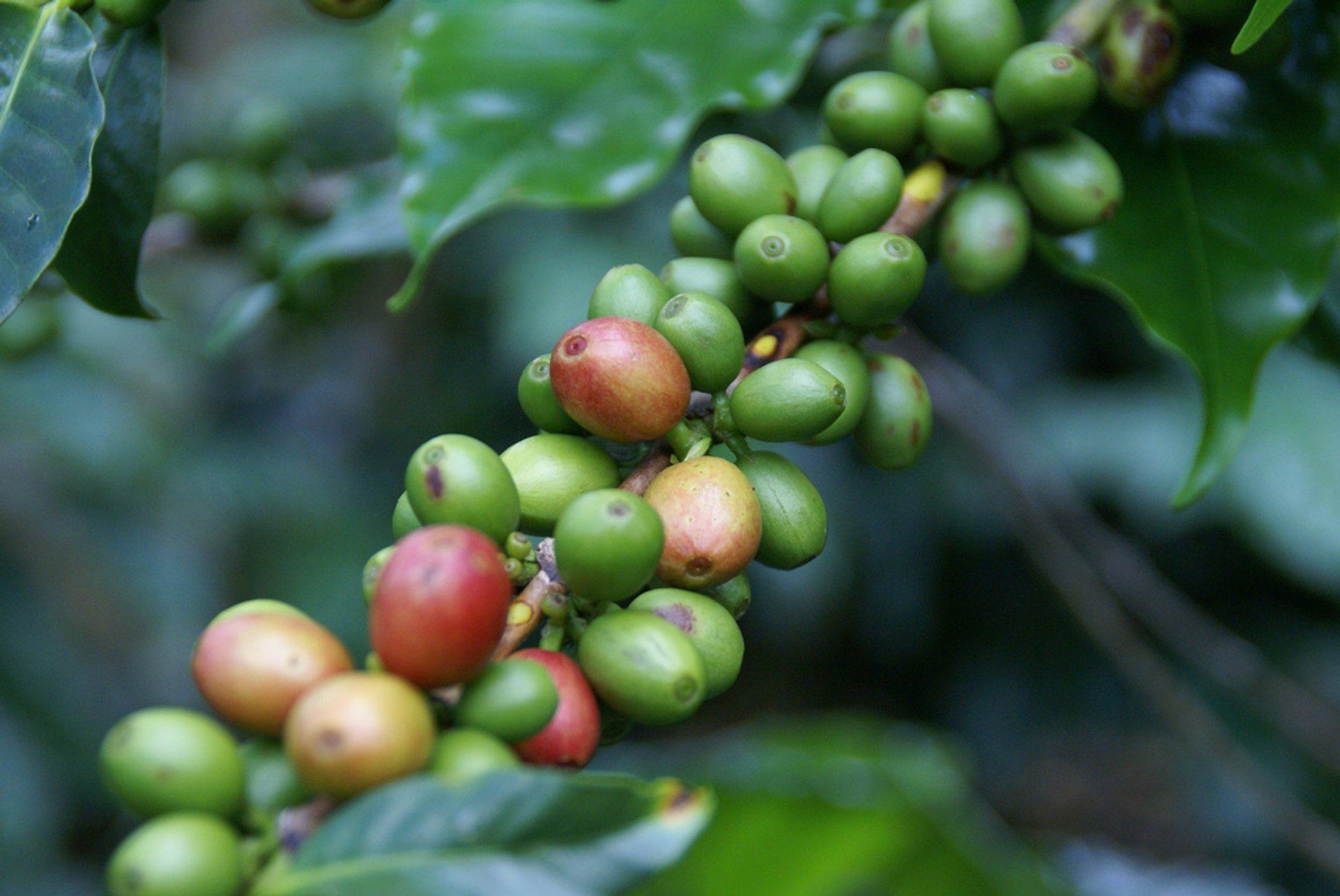 Coffee Harvest in Honduras 2019 - Best Time