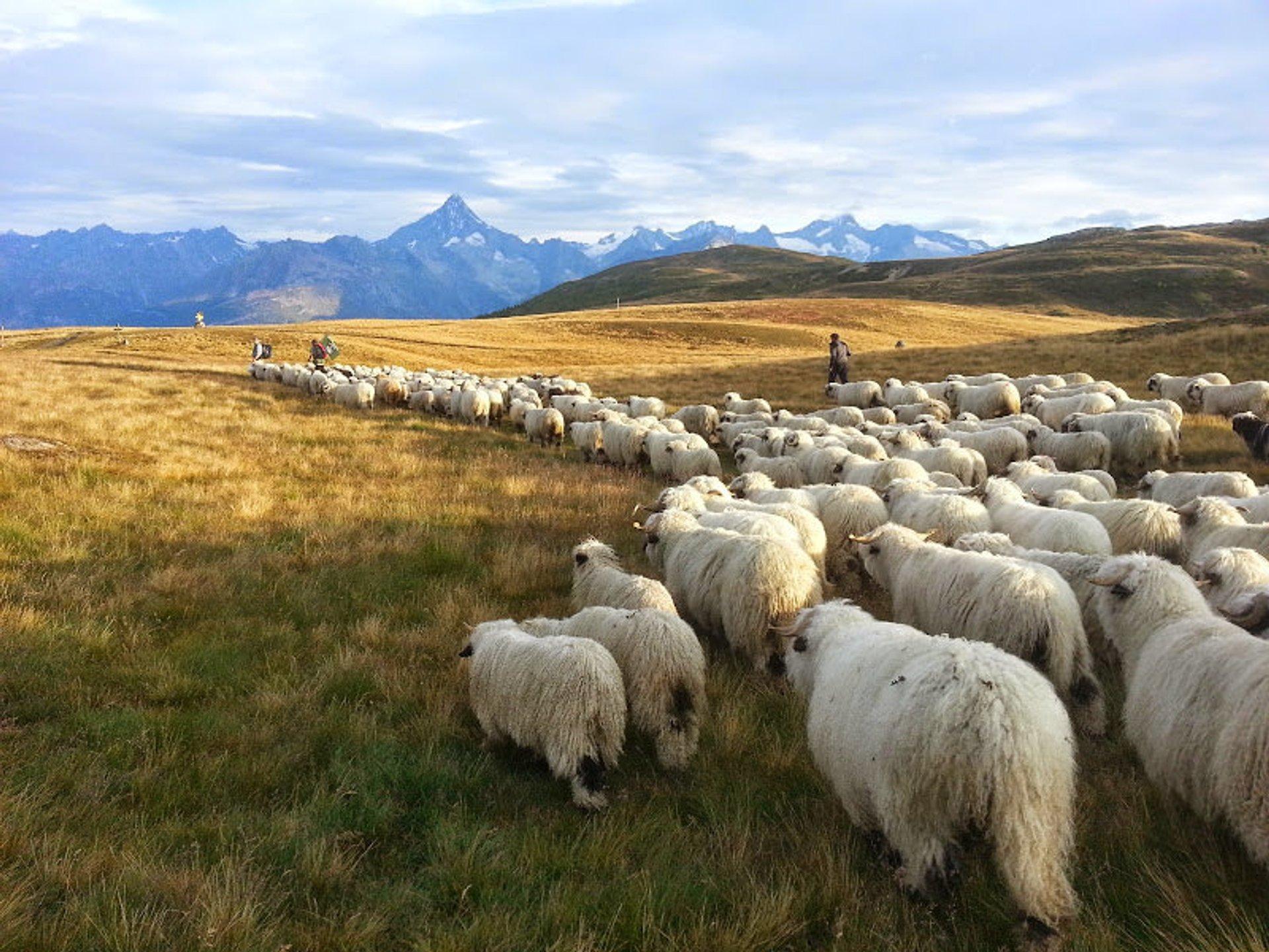 Herd in Heidadorf Visperterminen