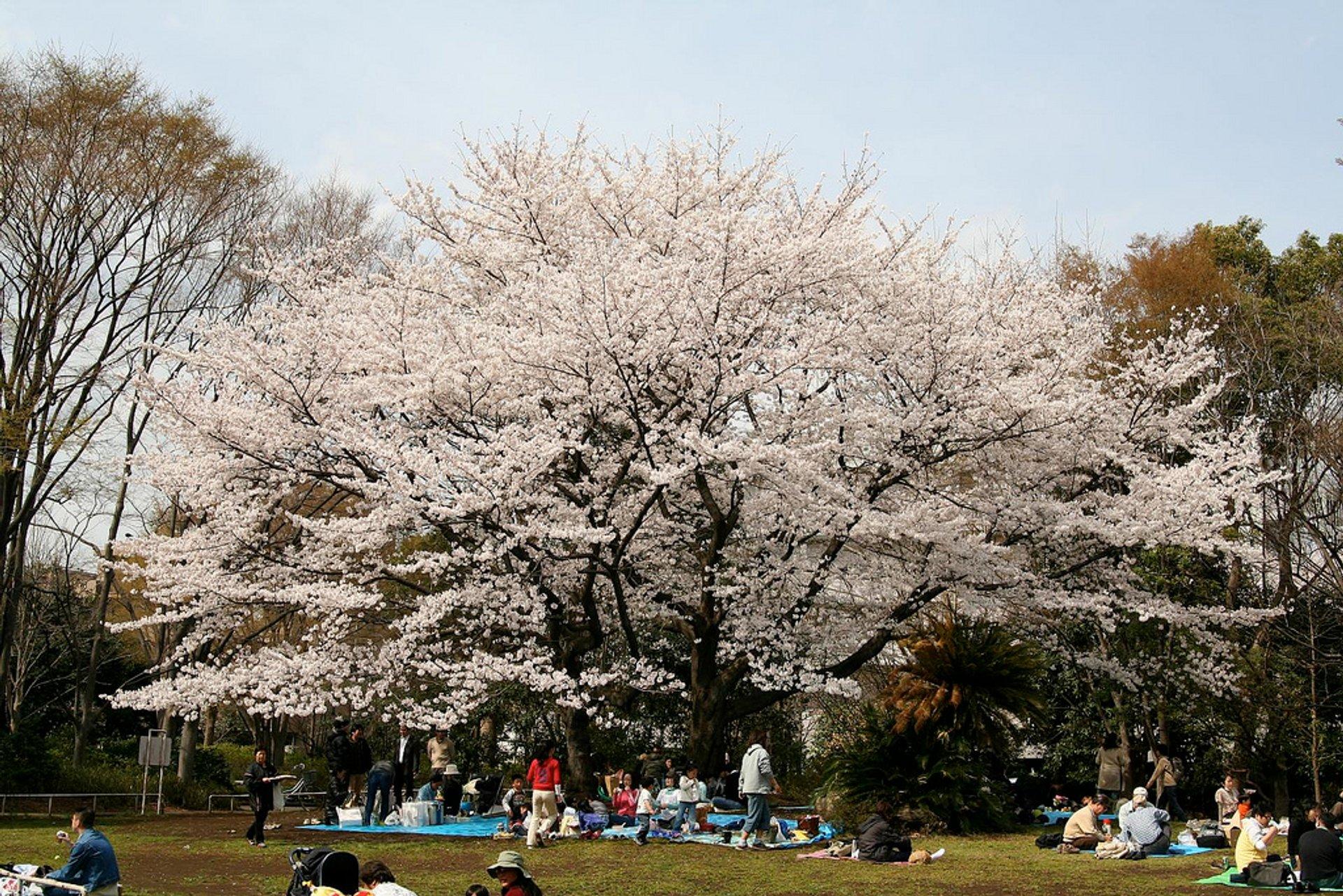 Hanami season in Tokyo area 2020