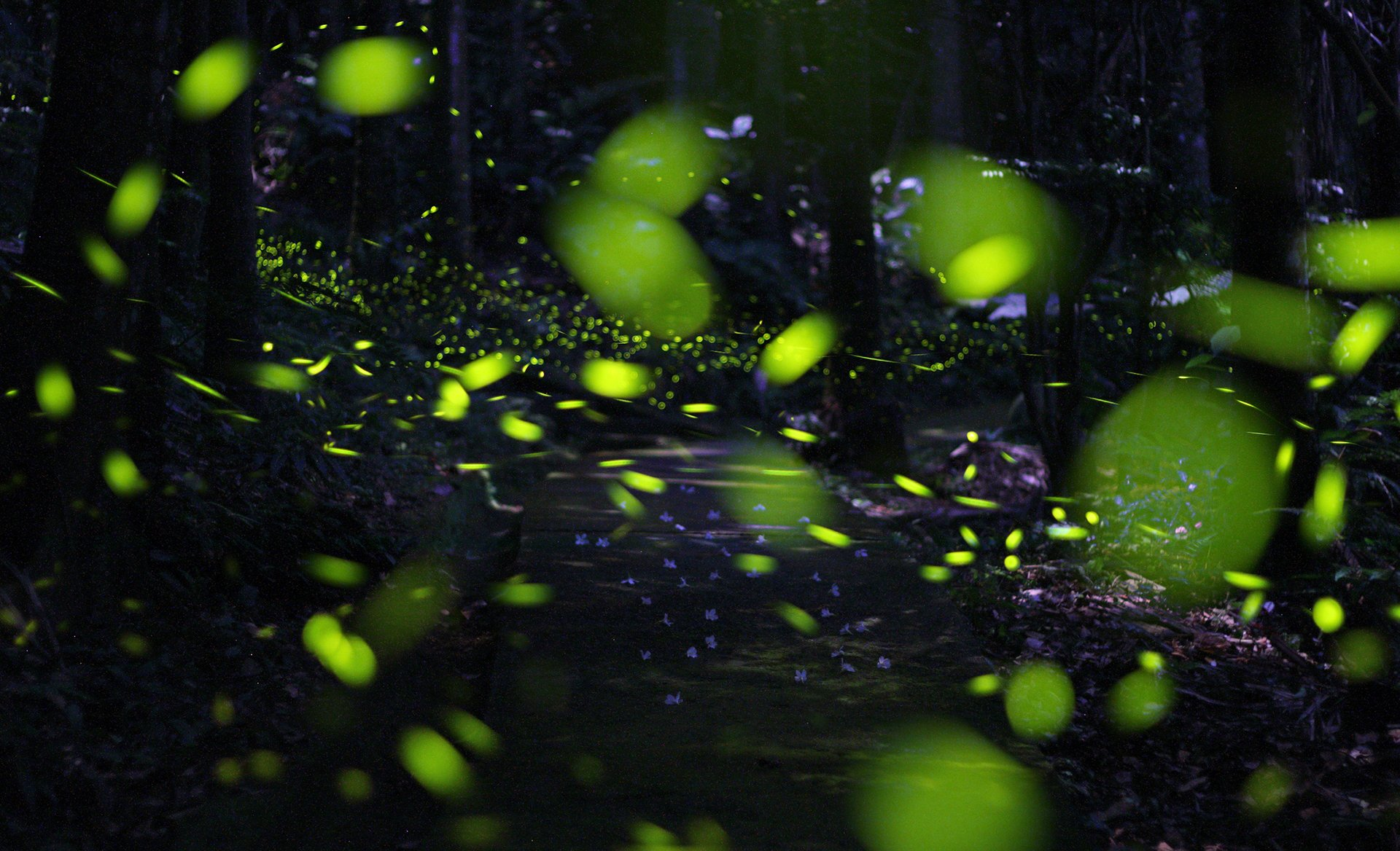 Firefly Season in Taiwan 2020 - Best Time
