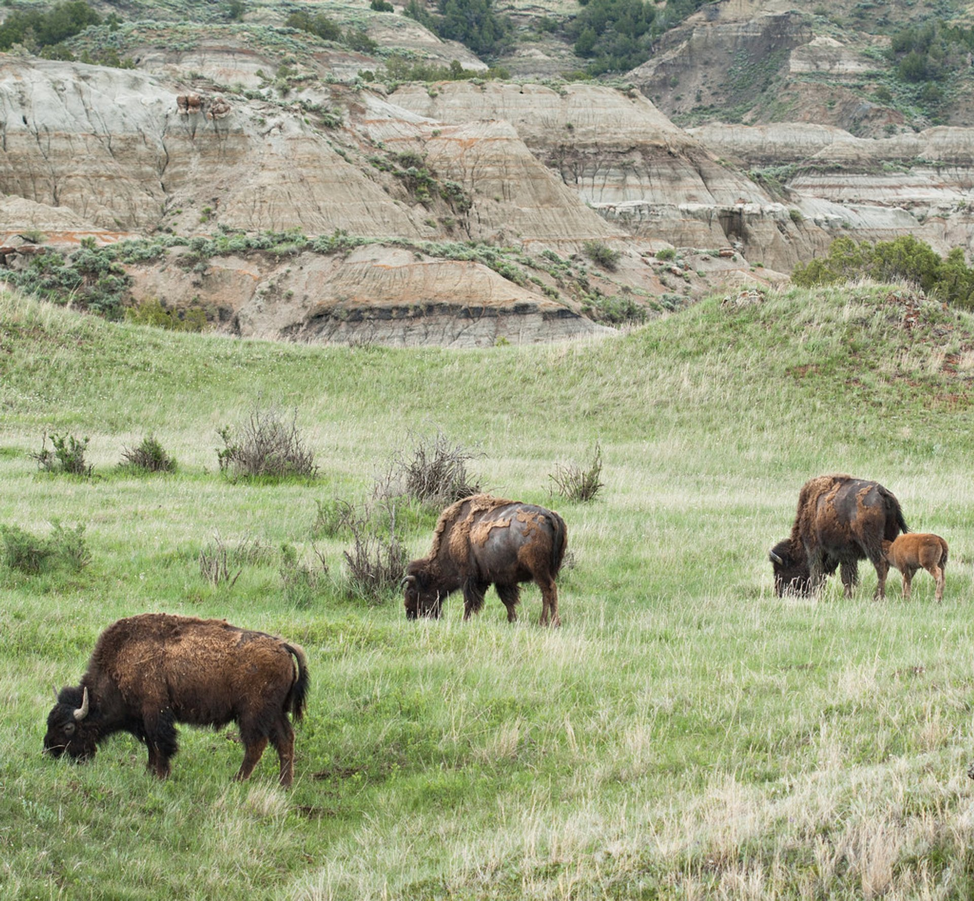 Best time for Baby Bison in the Theodore Roosevelt National Park in Midwest 2019