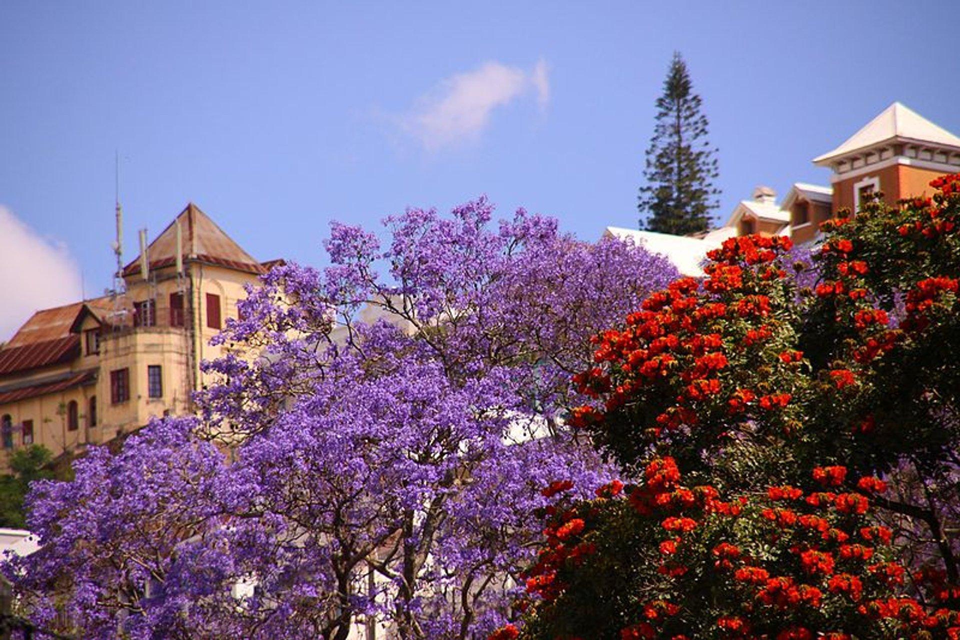 Jacaranda Tree in Madagascar - Best Time