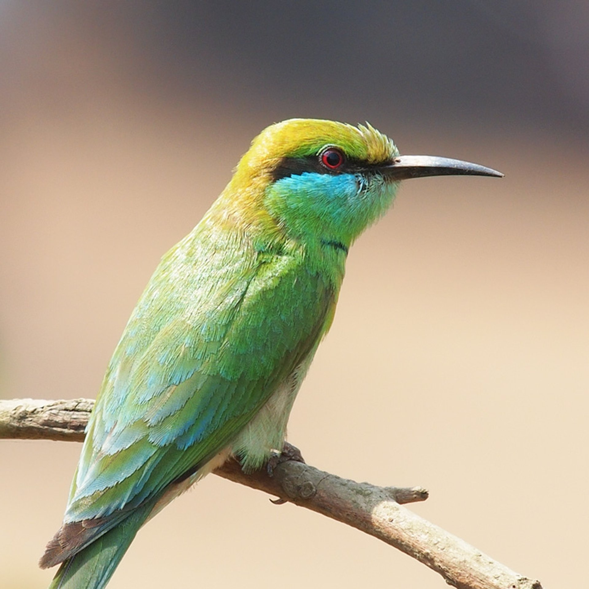 Bee-eater 2020