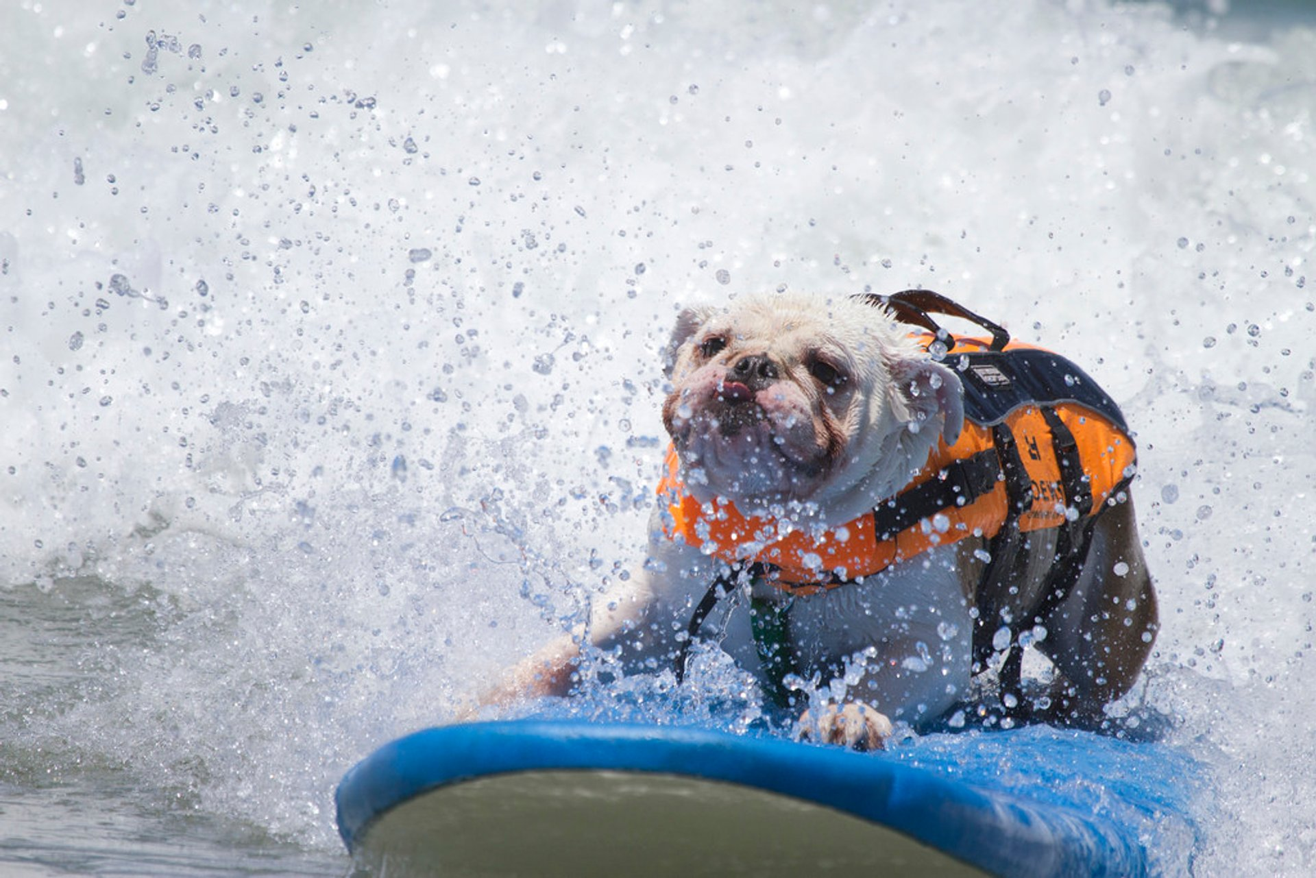 Surf Dog Competition in California - Best Season 2020