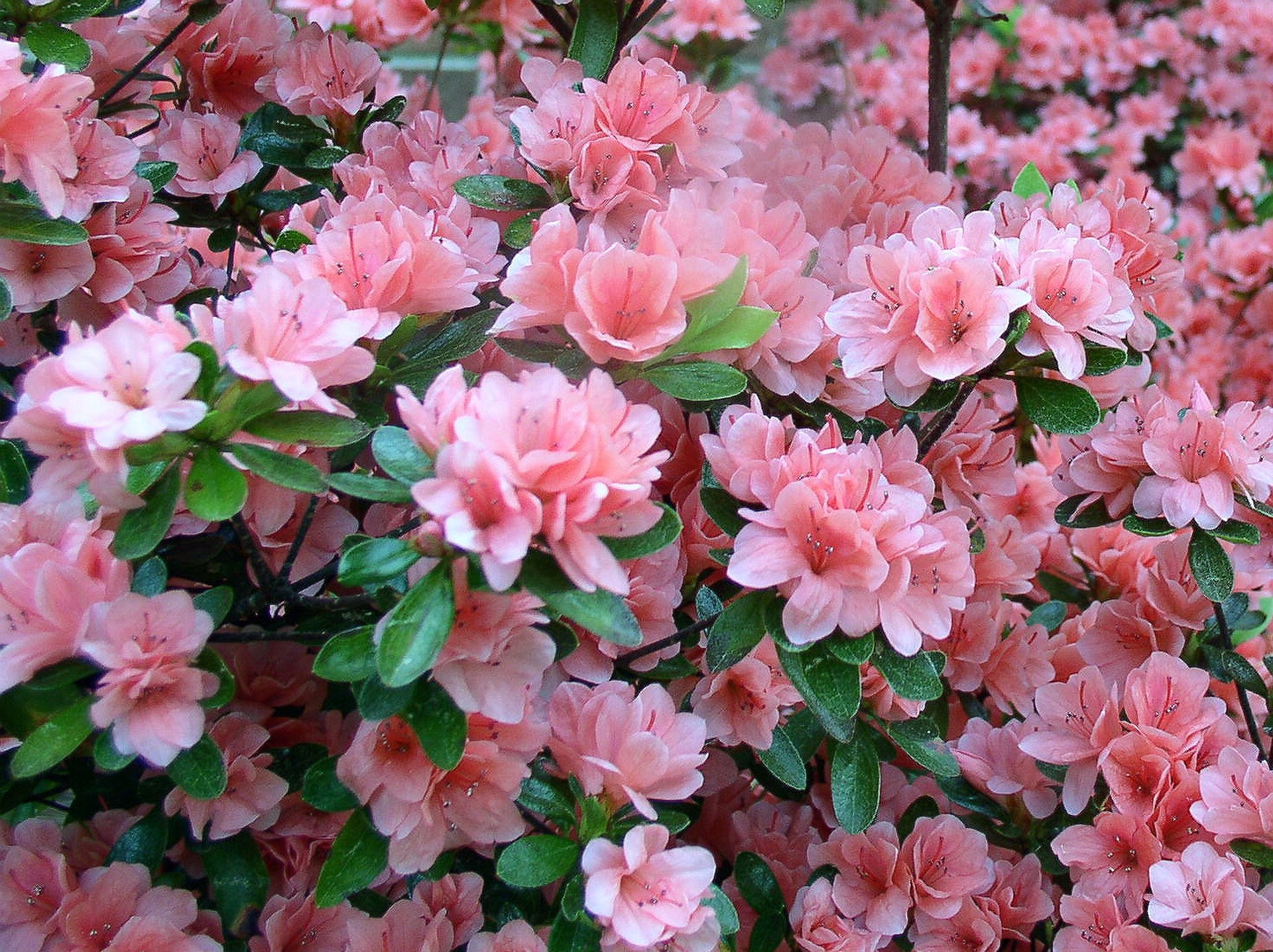 North Carolina Azalea Festival in North Carolina 2020 - Best Time