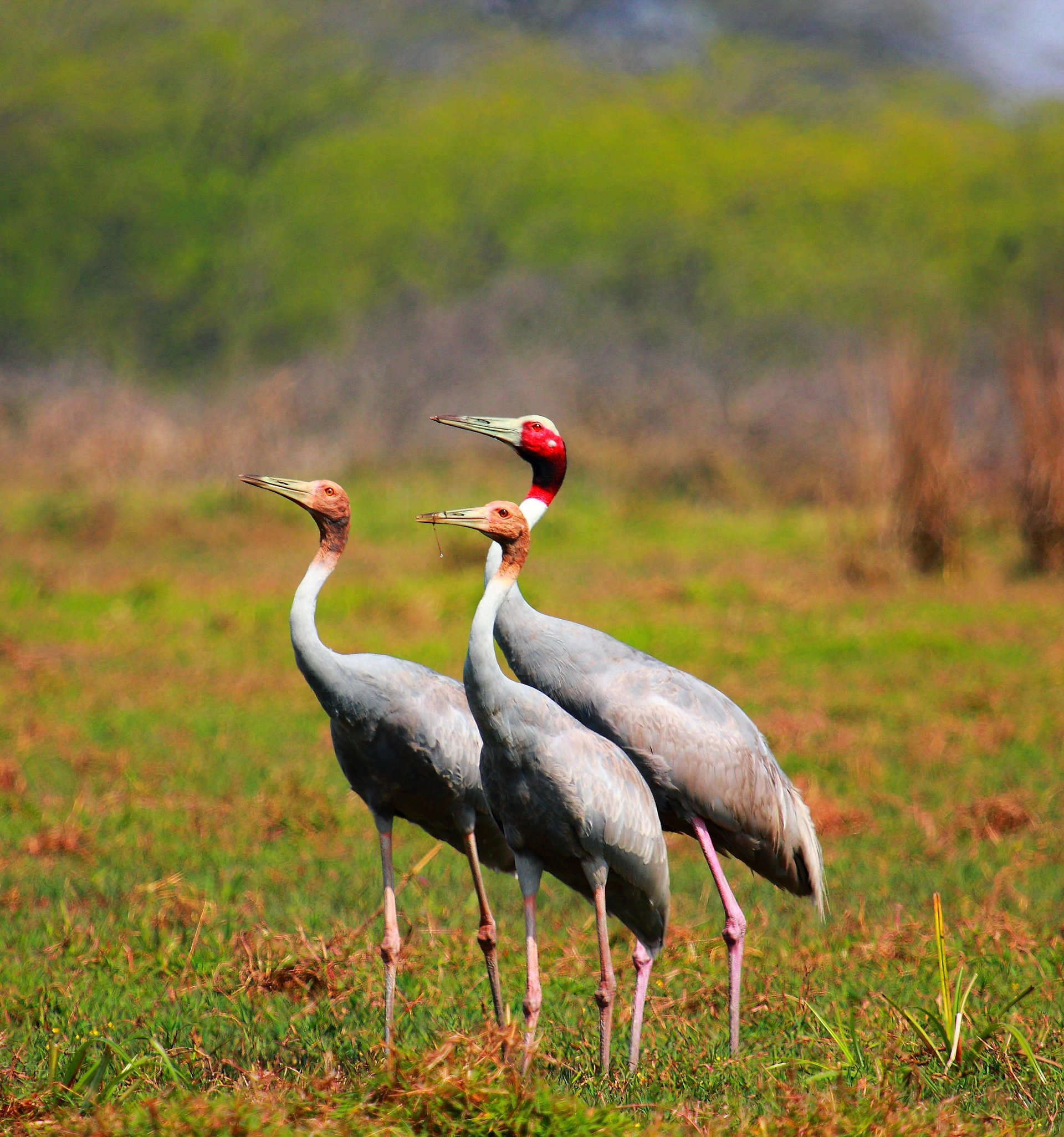 Eastern Sarus Cranes