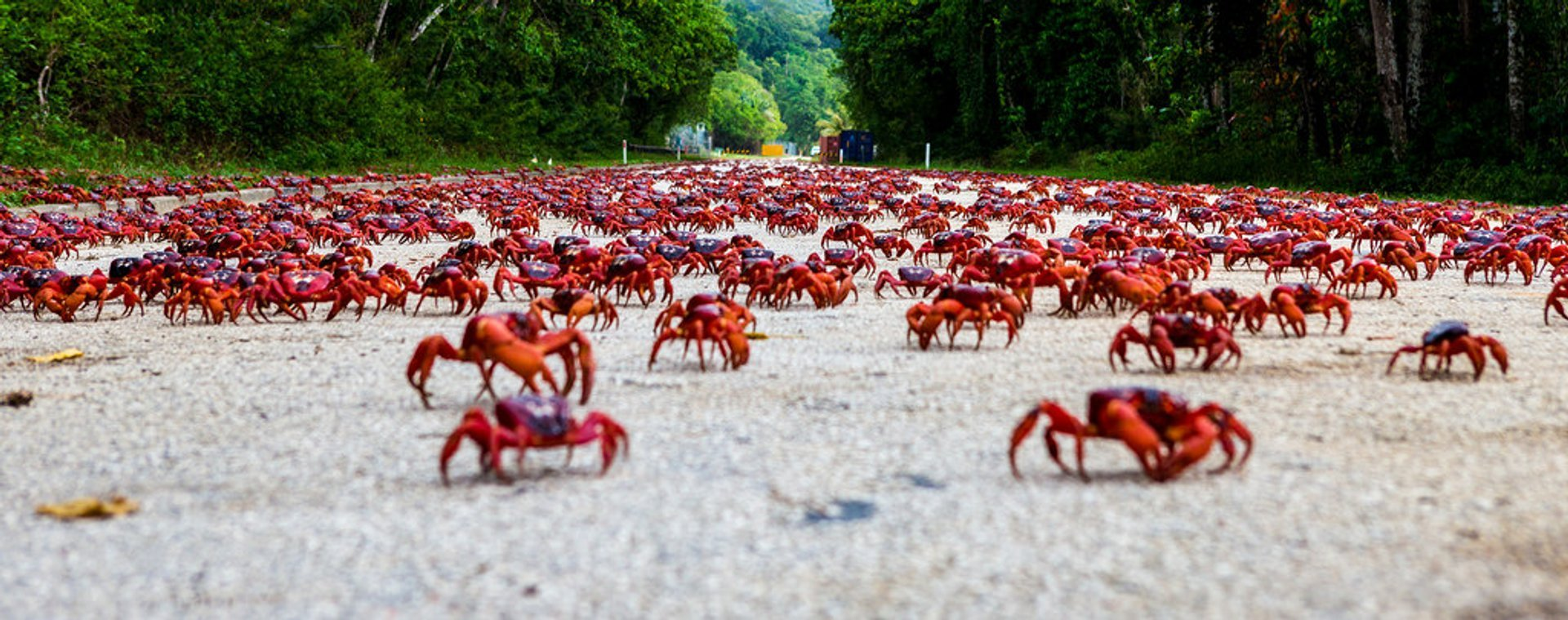 Best Time to See Red Crab Migration in Christmas Island 2020 - Rove.me
