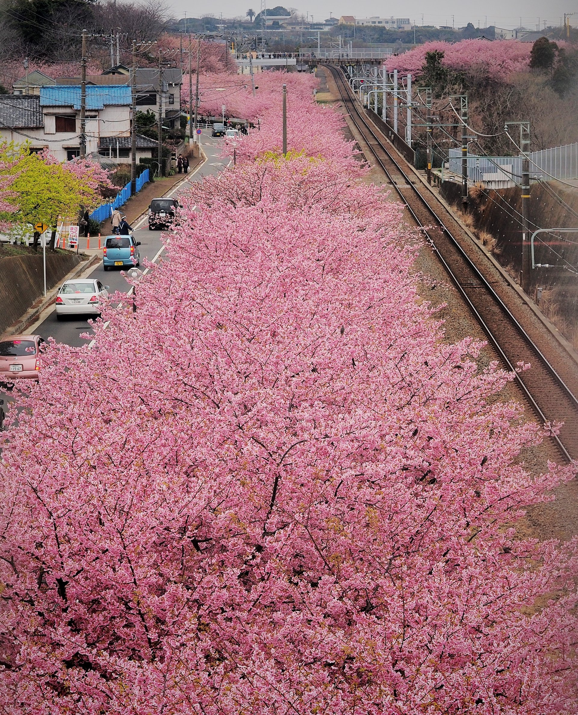 Best time for Cherry Blossoms in Japan 2019
