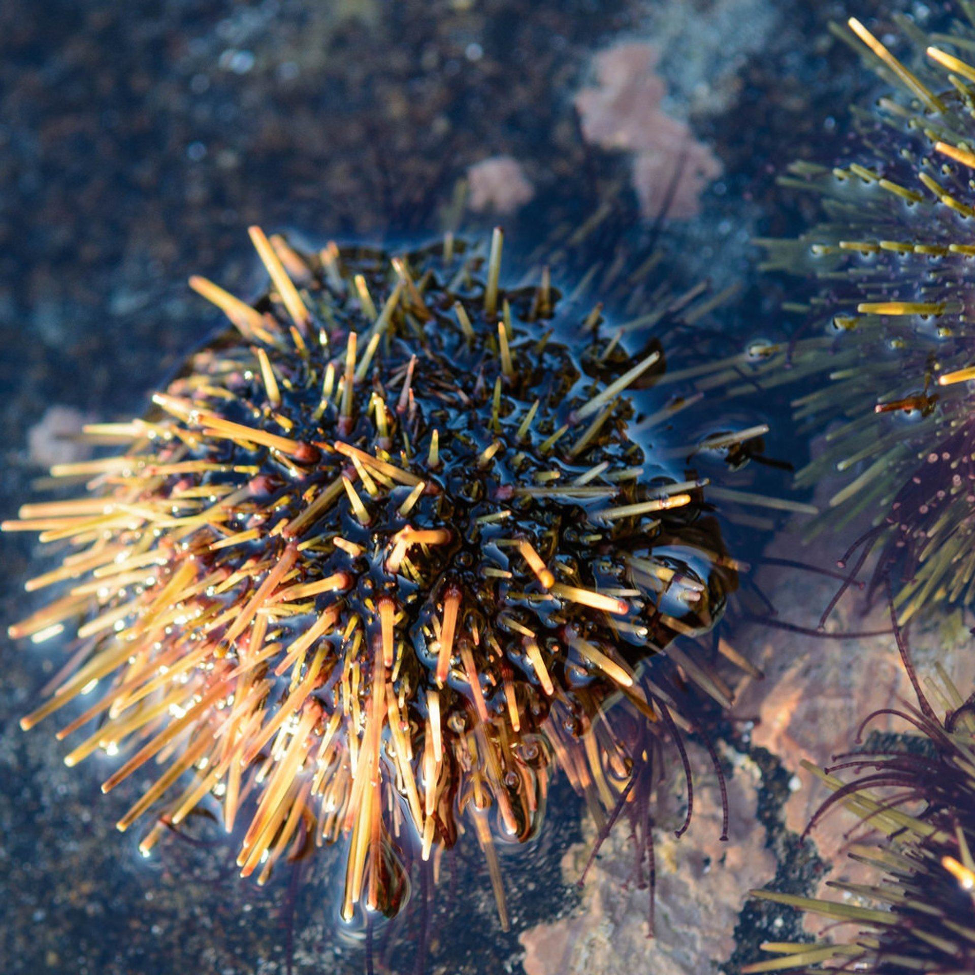 Sea Urchins in Norway 2020 - Best Time