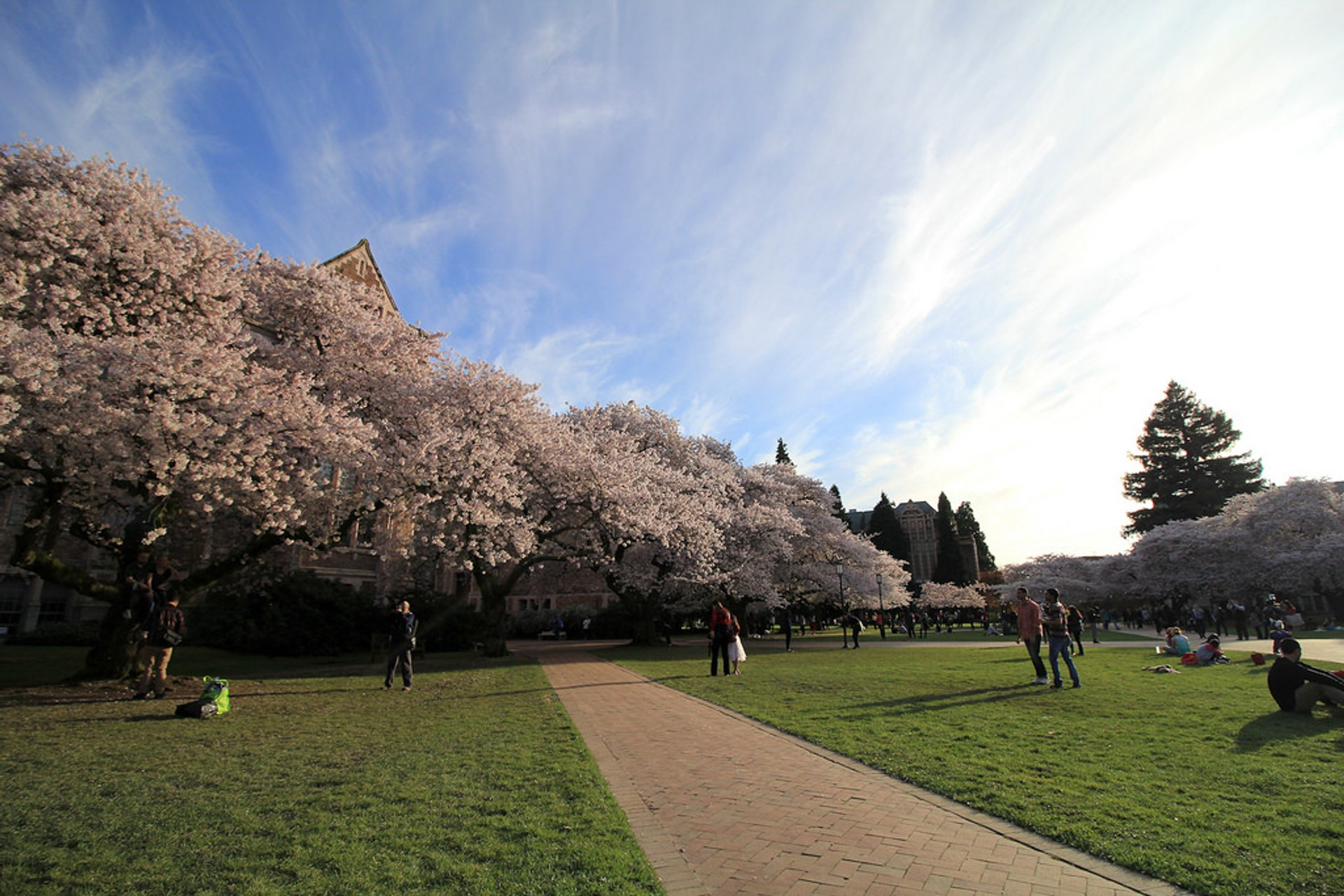 Cherry blossoms at the UW Quad 2020