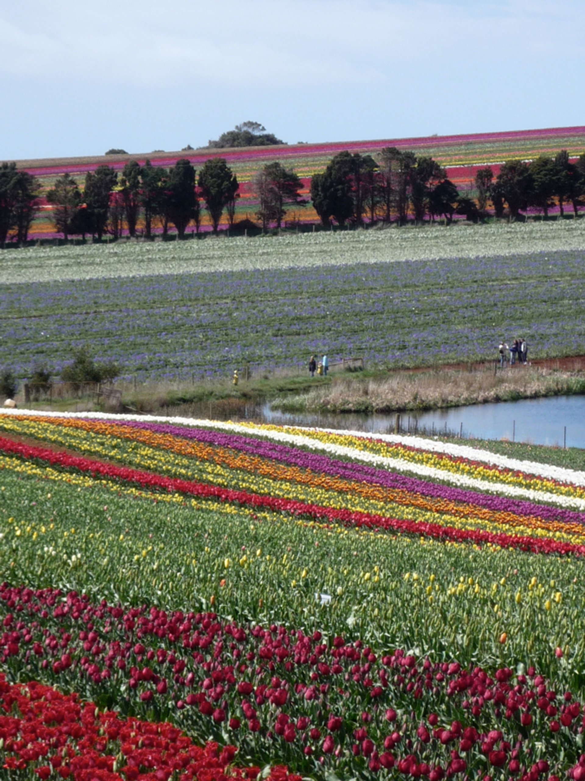 Best time to see Blooming Tulips in Tasmania