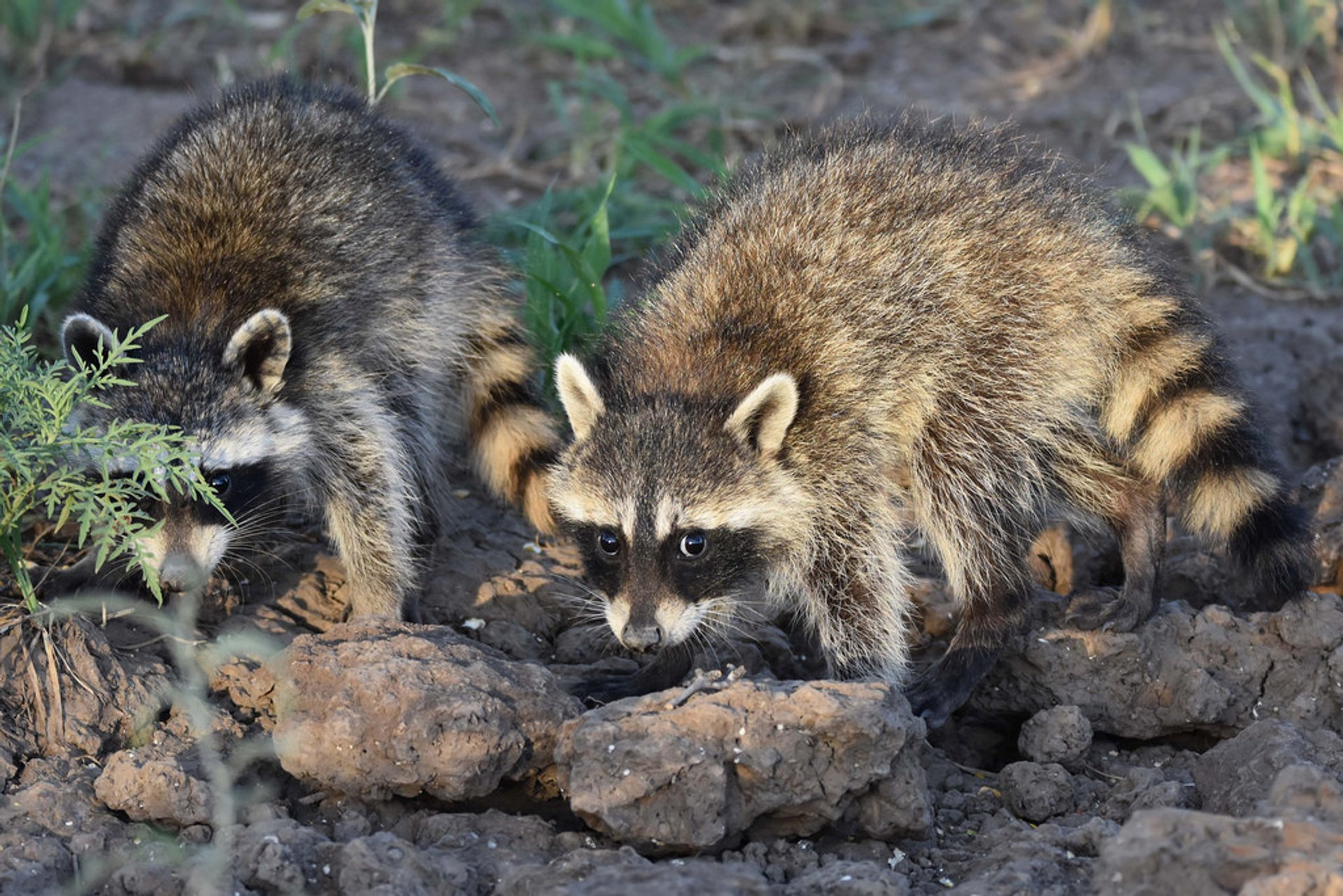 Raccoon in Texas - Best Time