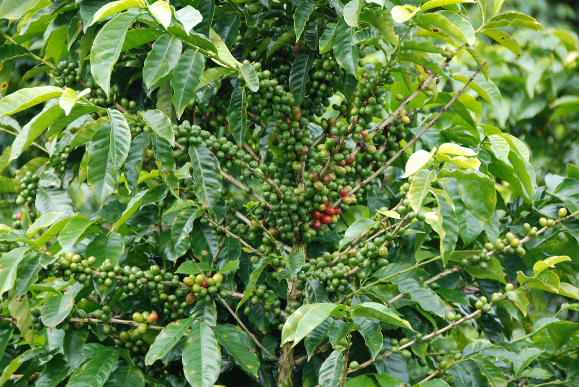 Coffee Picking Season in Panama - Best Season 2019
