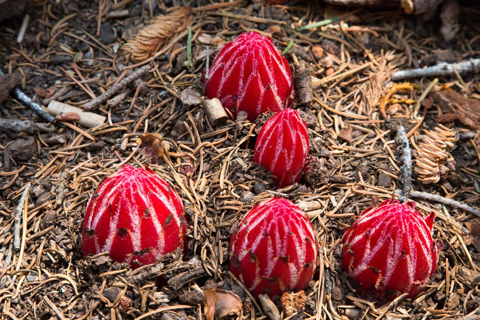 Snow Plant in Yosemite 2019 - Best Time