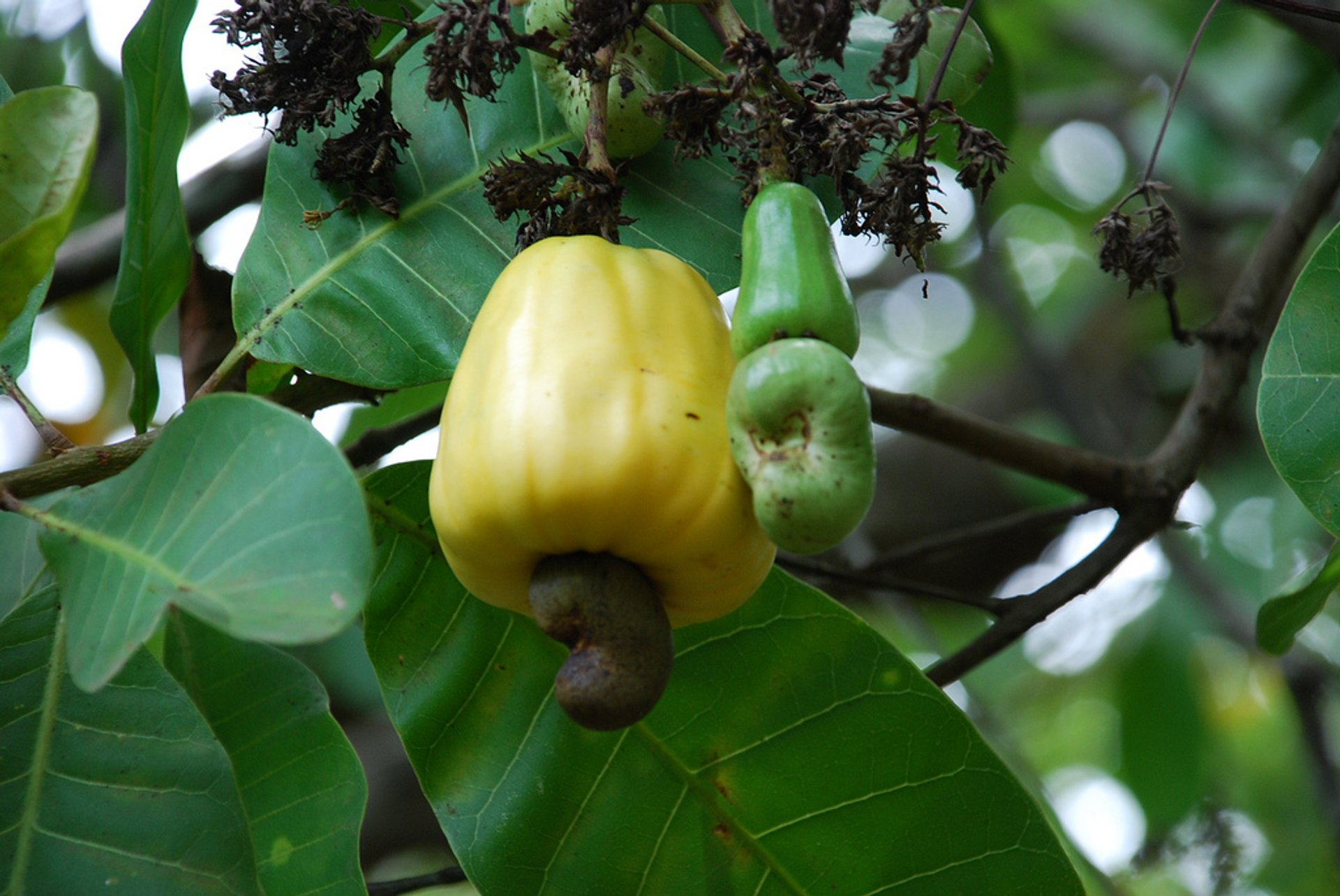 Cashew Season in Goa - Best Time