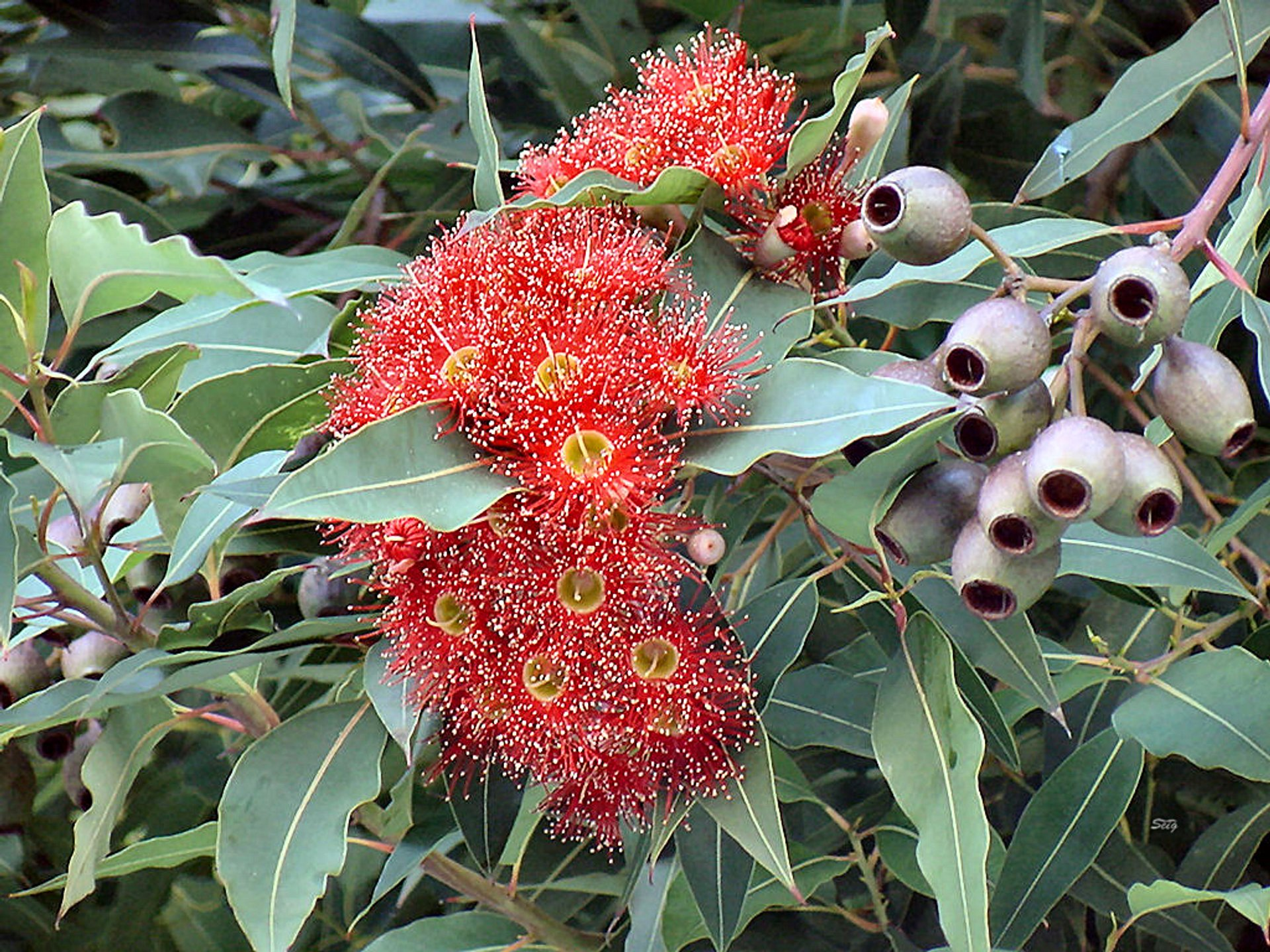 The Red Flowering Gum in San Francisco 2020 - Best Time
