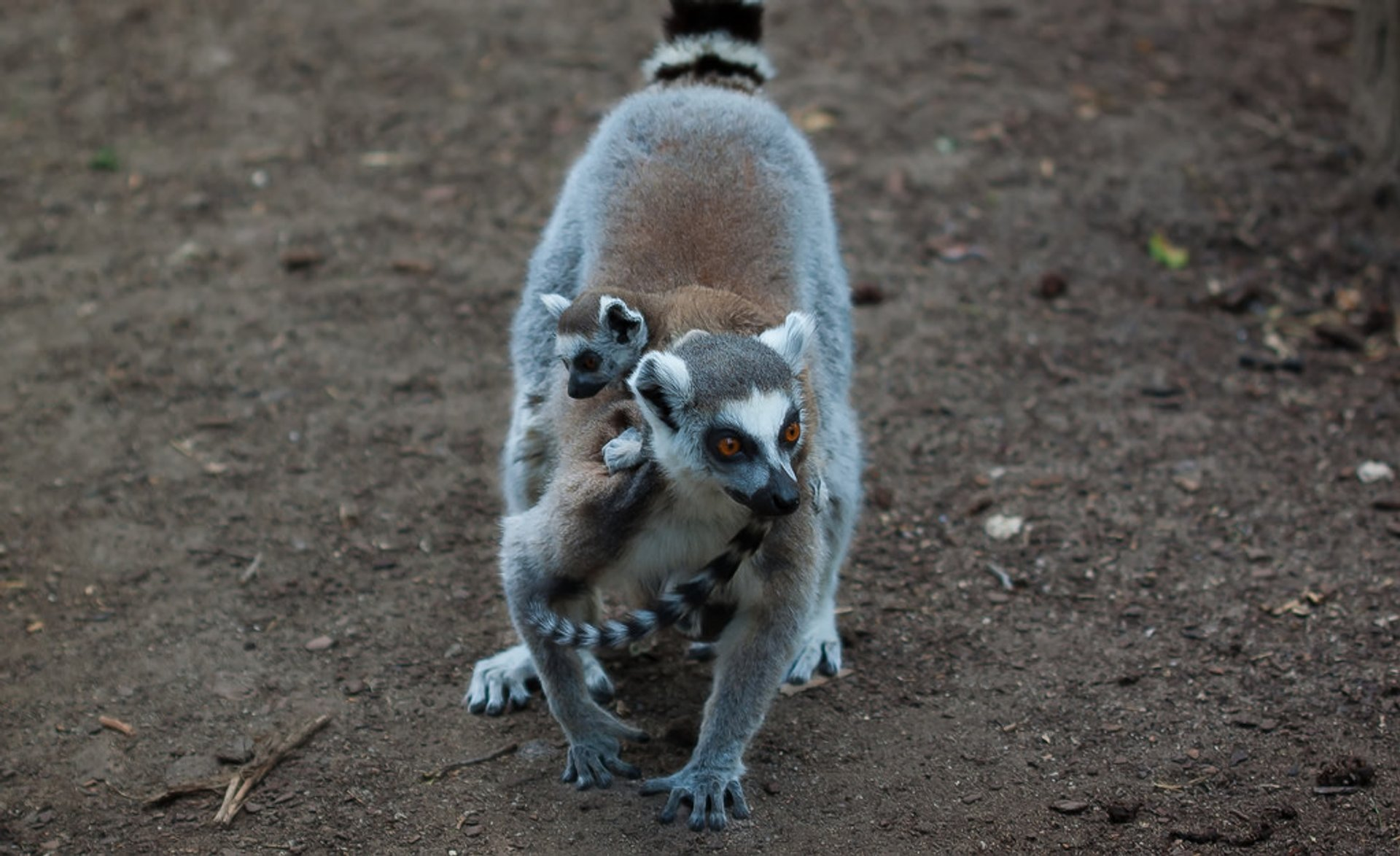 Best time for Baby Lemurs in Madagascar