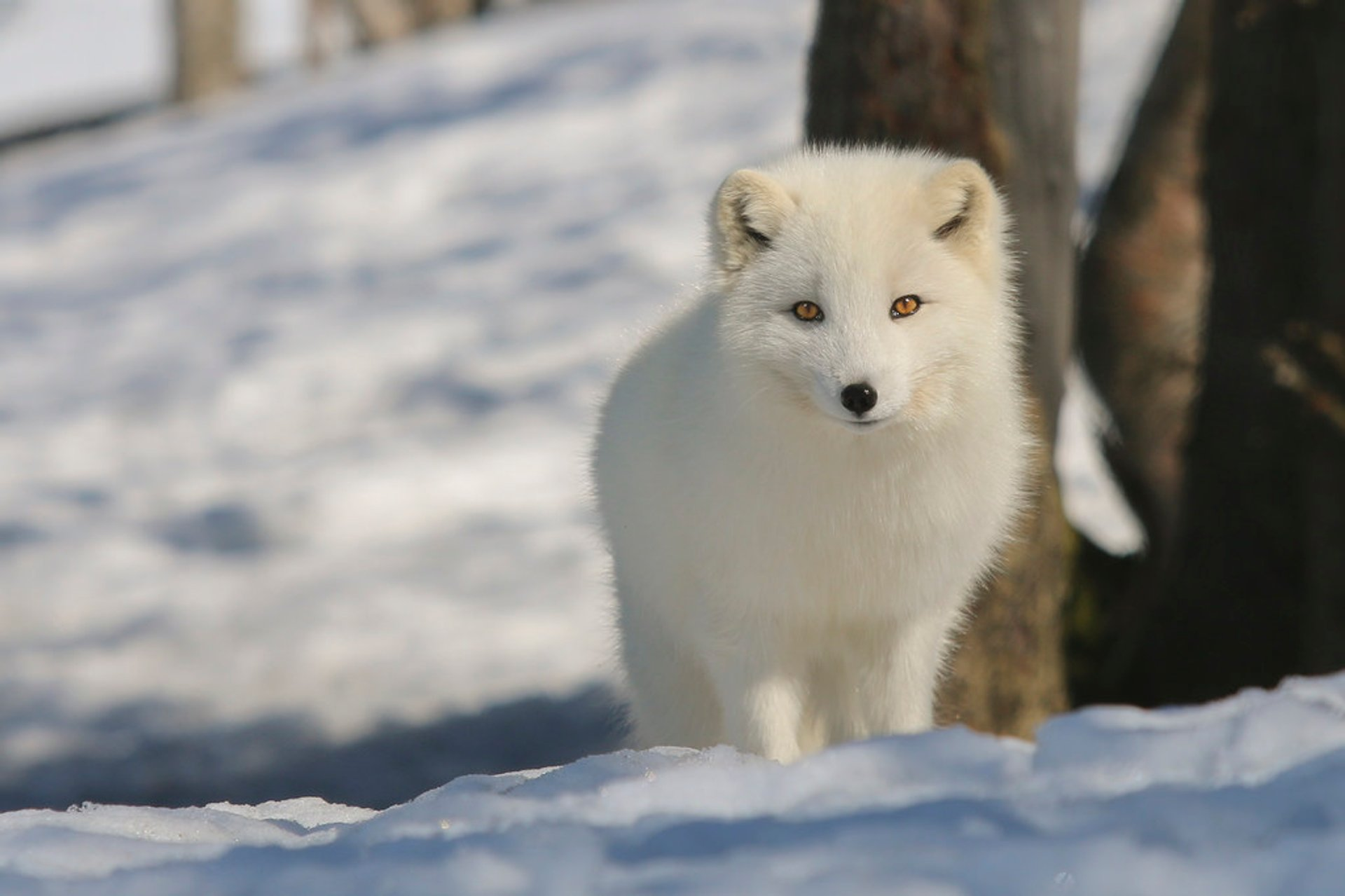 Arctic Fox in Norway - Best Time