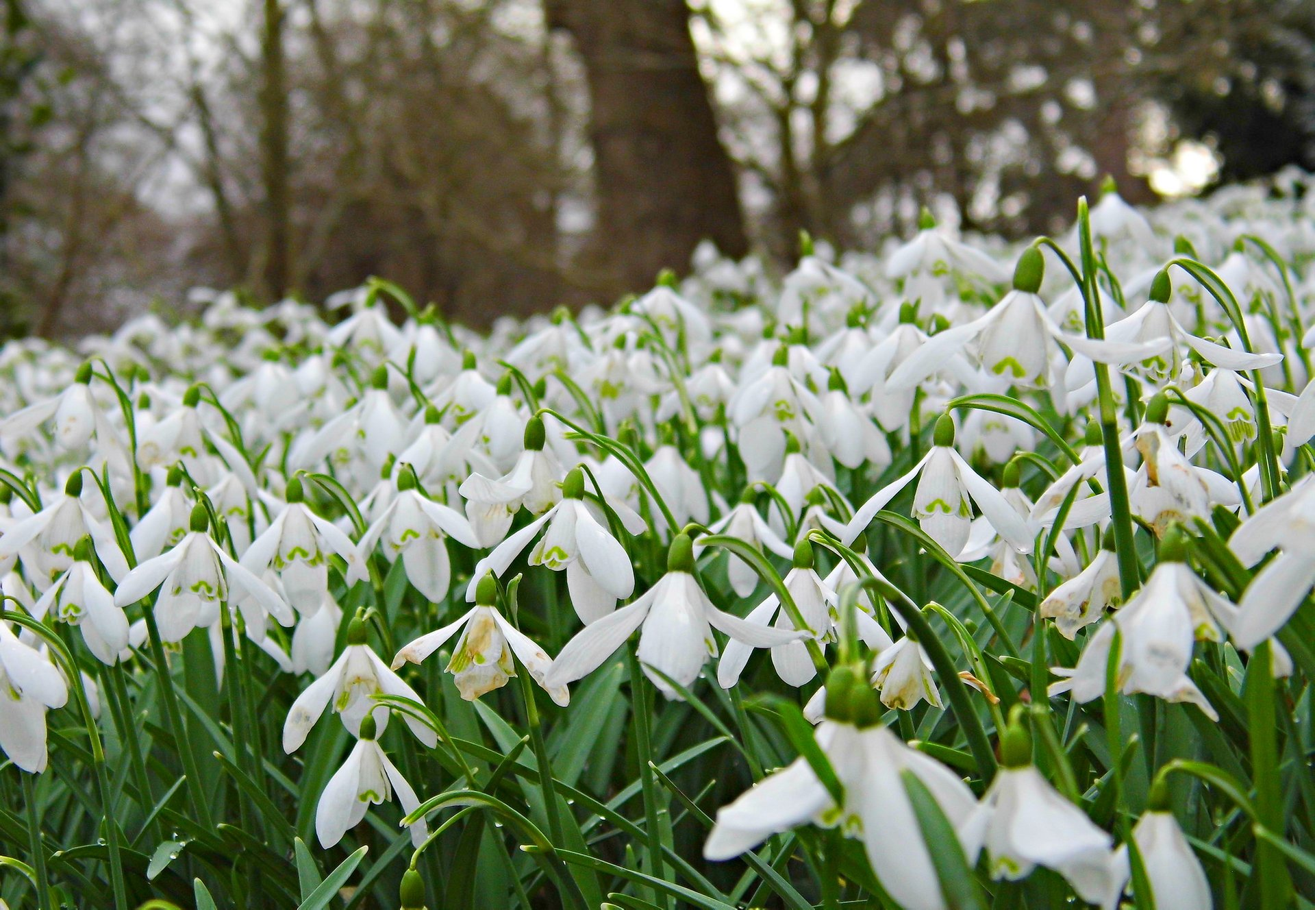 Host of snowdrops! A beautiful sight in the grounds of Penrhyn castle. 2020