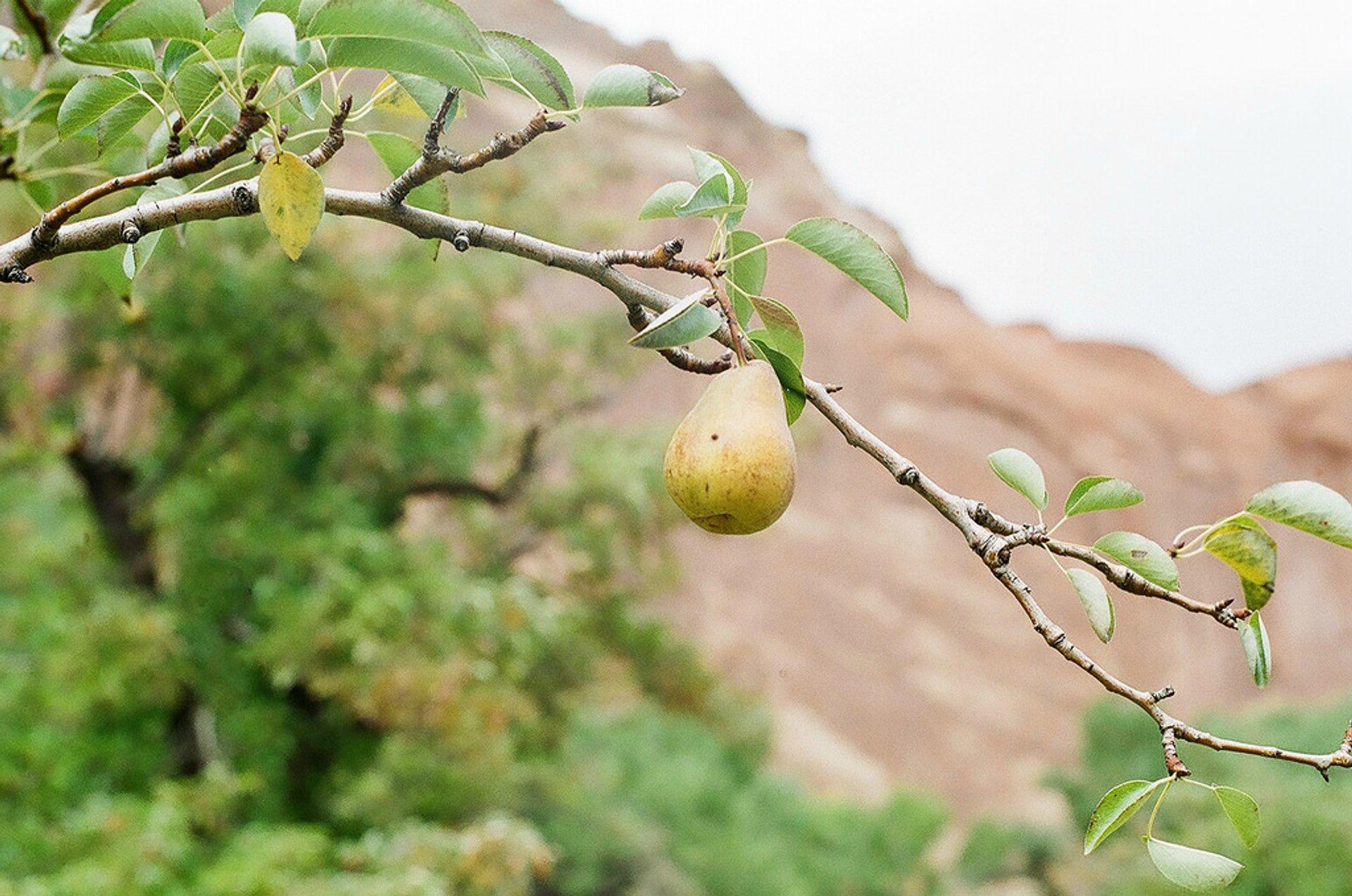 Capitol Reef Orchards in Utah - Best Season 2019