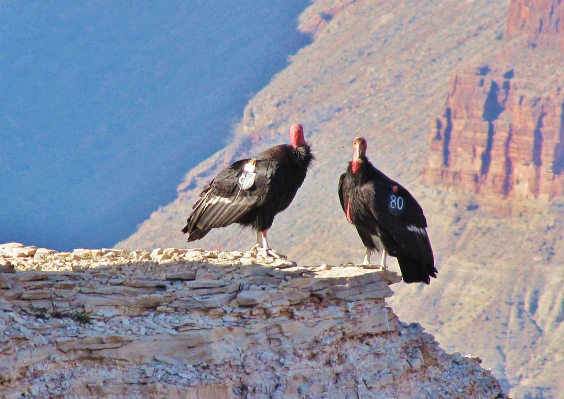 California Condor in Grand Canyon - Best Season 2020