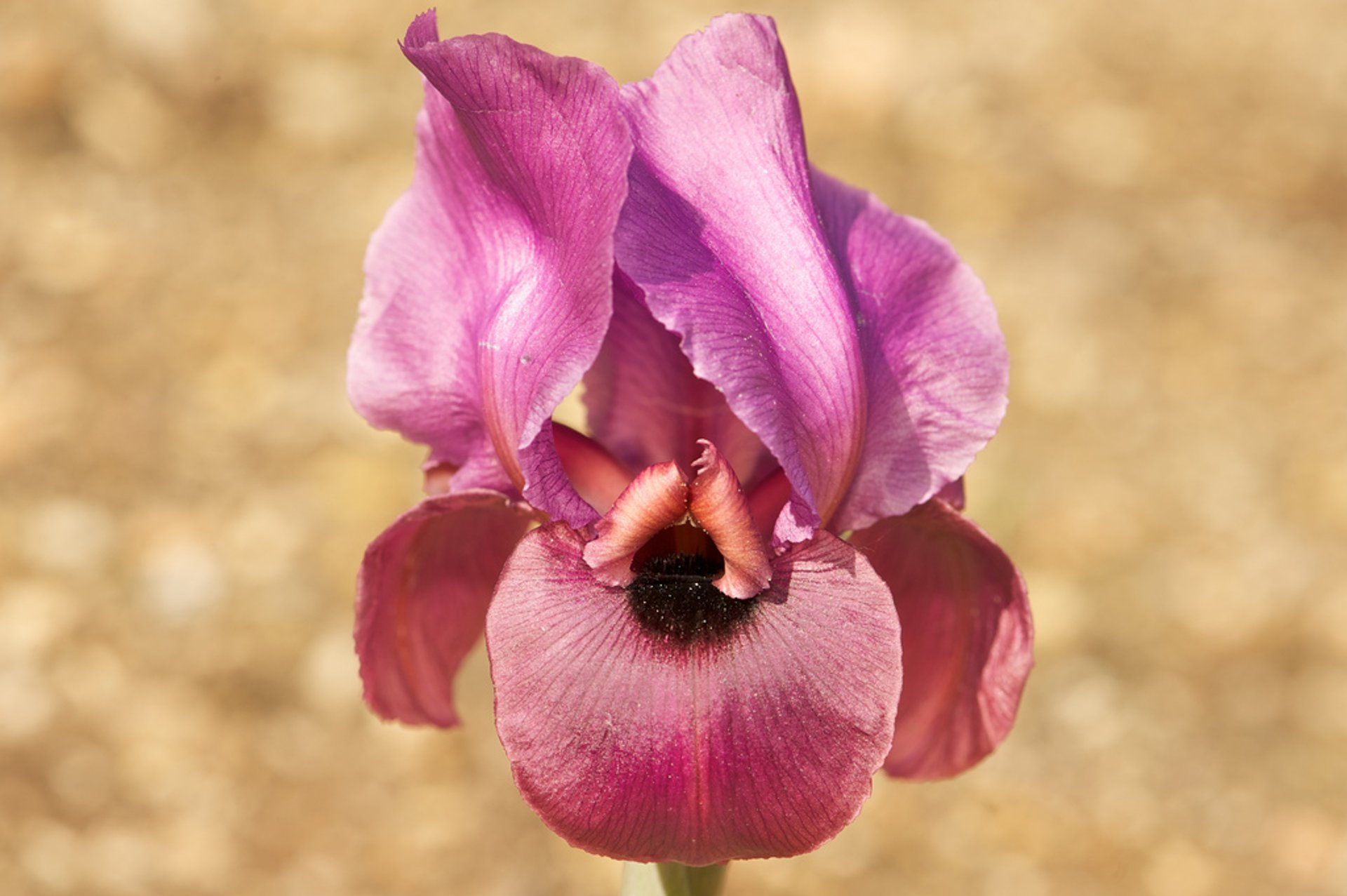 Best time for Negev Iris in Bloom in Israel 2020