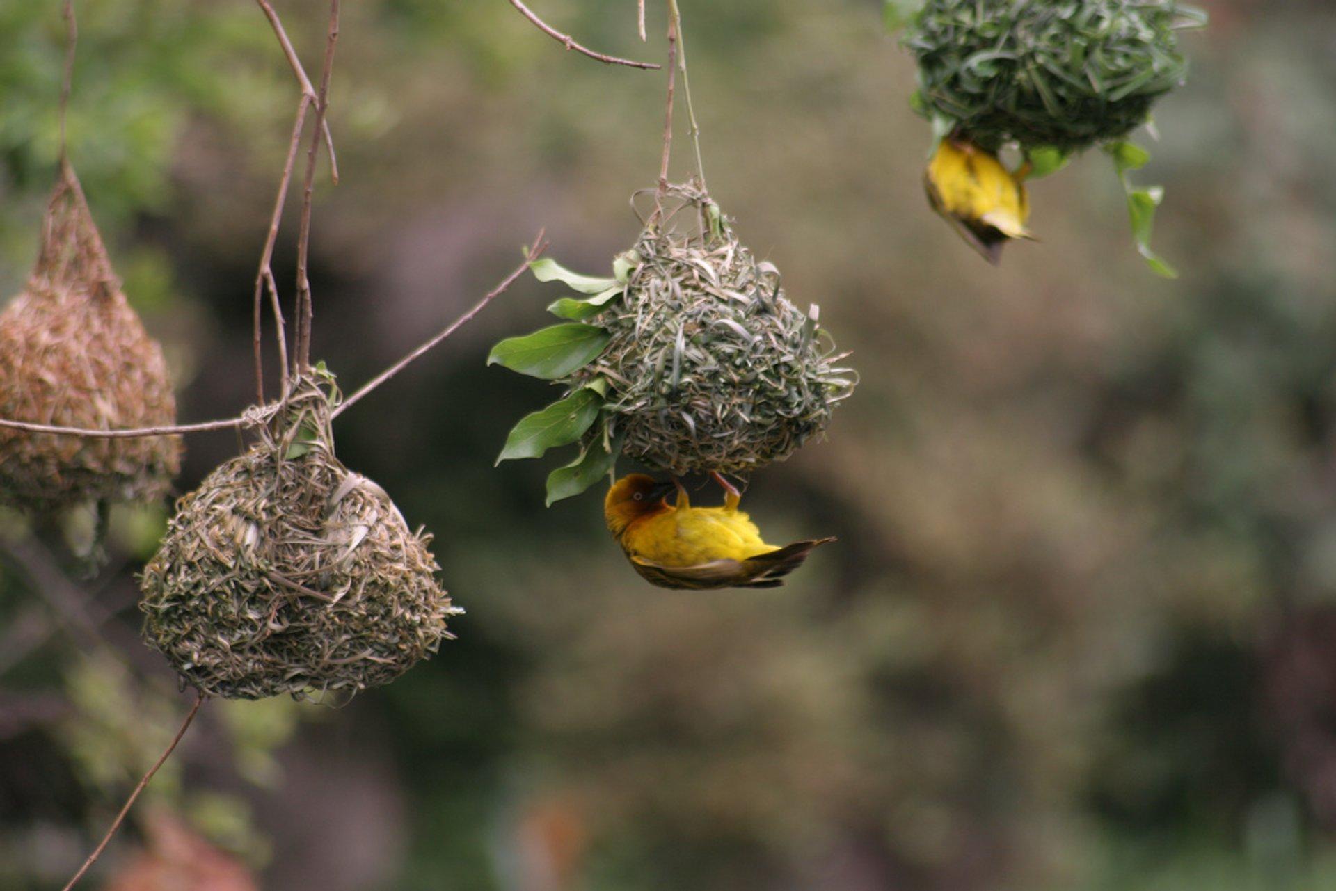 Cape weaver in breeding plumage 2020