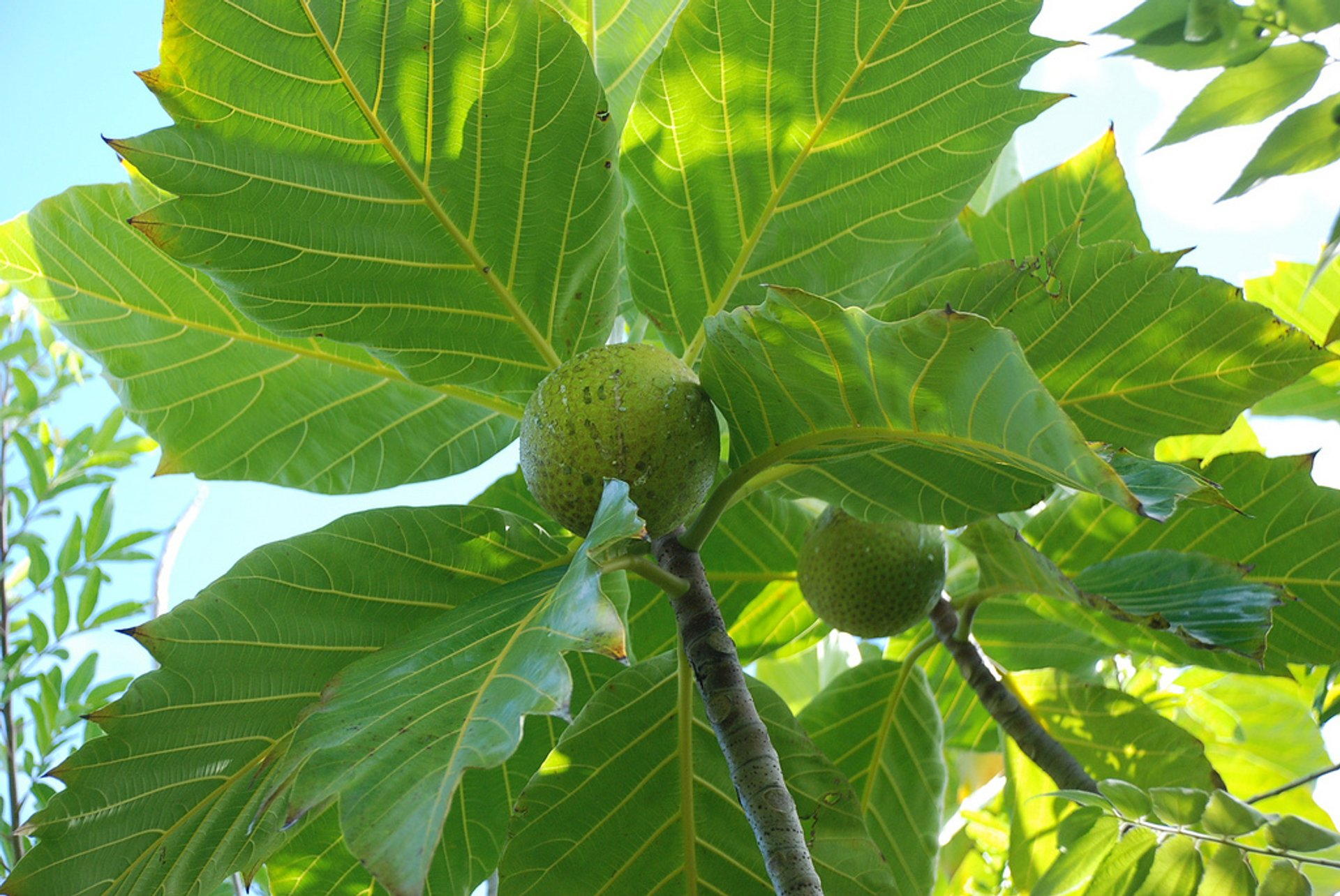 Polynesian Breadfruit (Uru or Ulu) in French Polynesia - Best Time