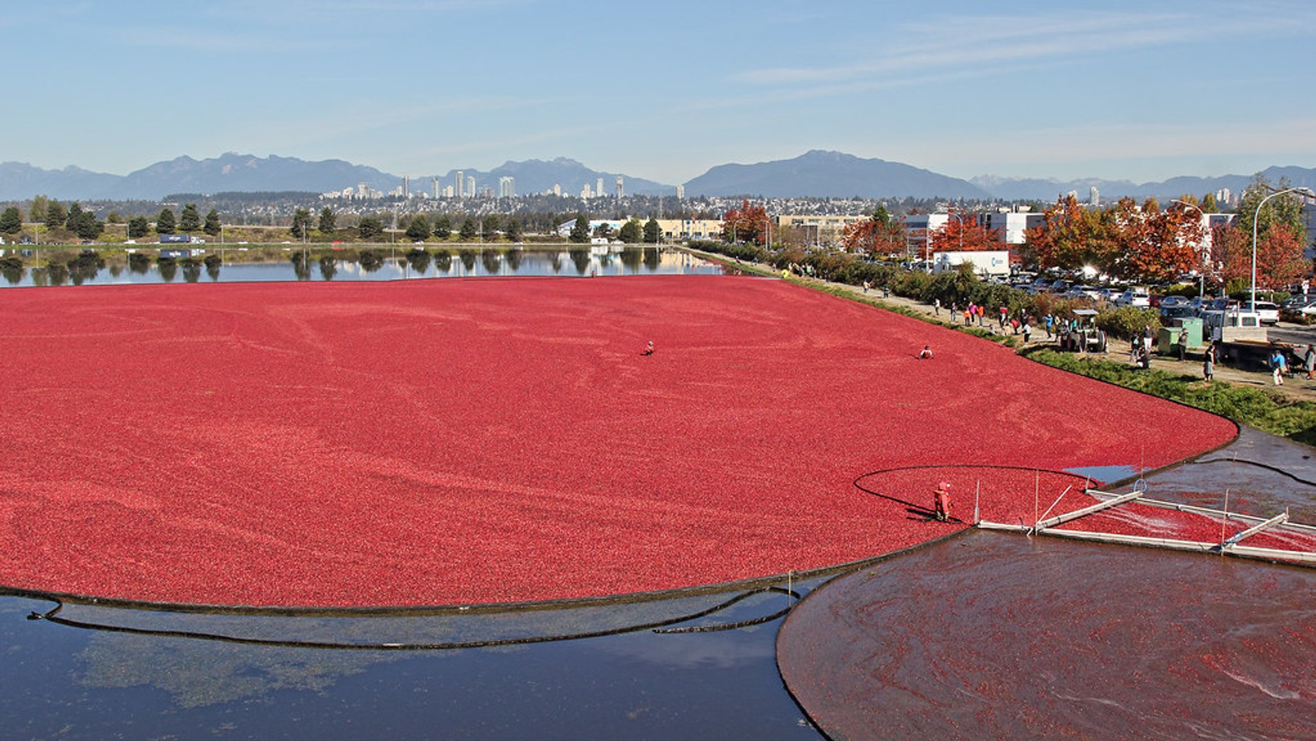 Cranberry harvest in Richmond 2020