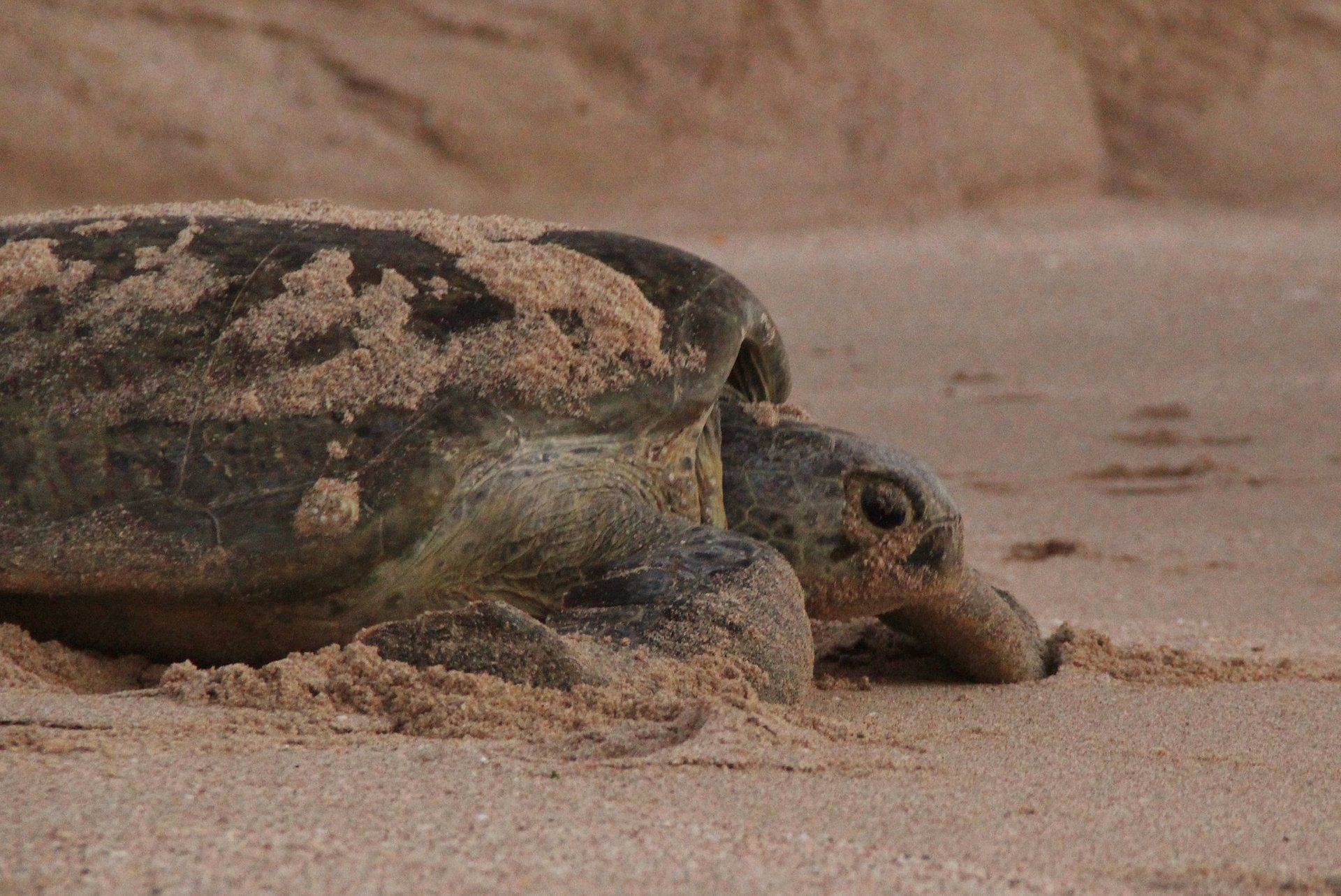 Turtle at Ras Al Hadd 2020