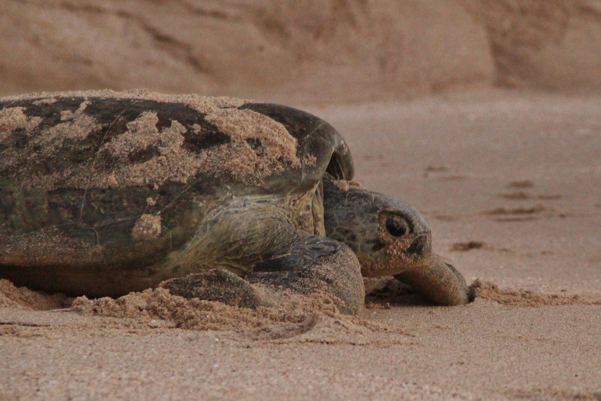 Turtle at Ras Al Hadd