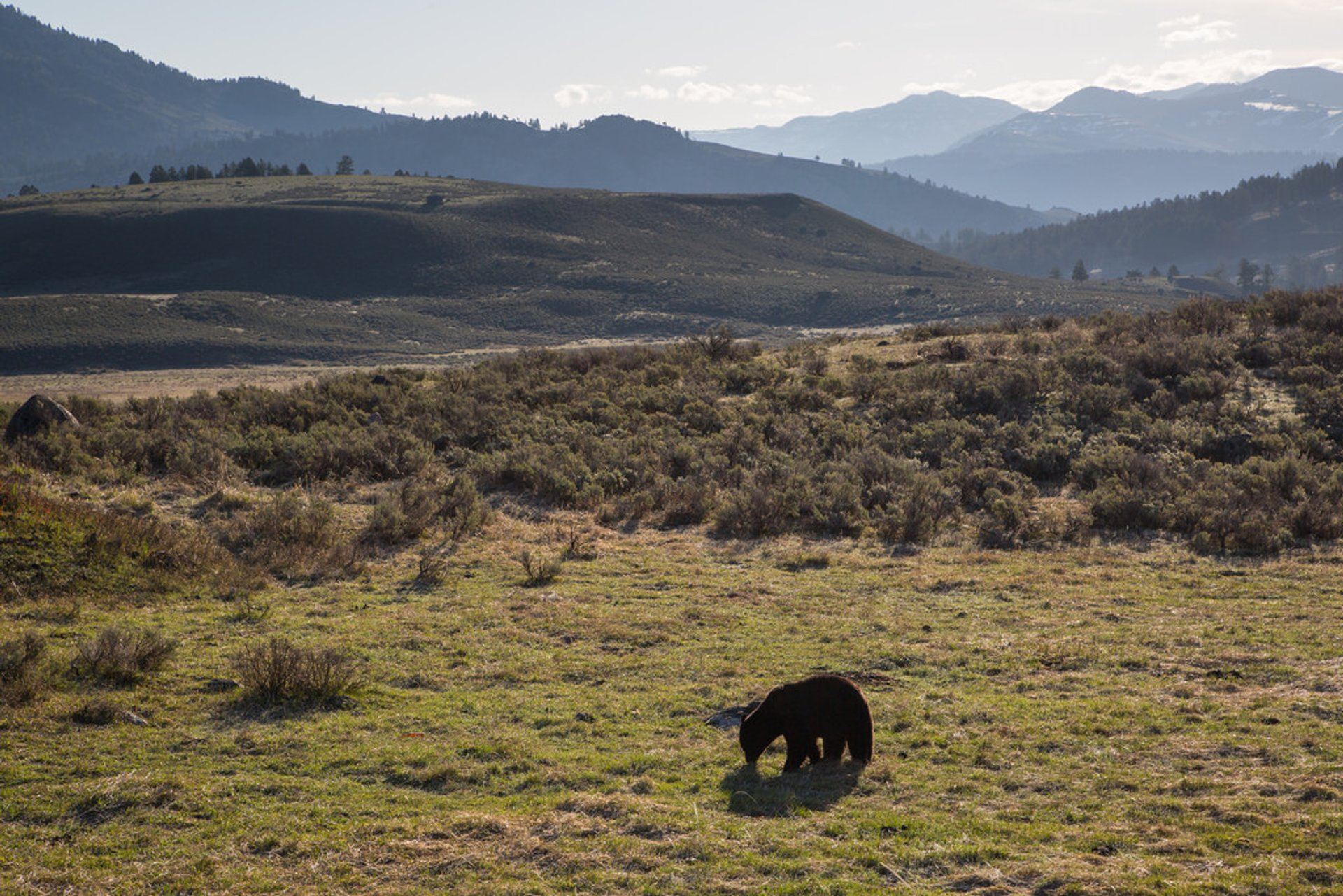 Best time for Black Bears in Yellowstone National Park 2020