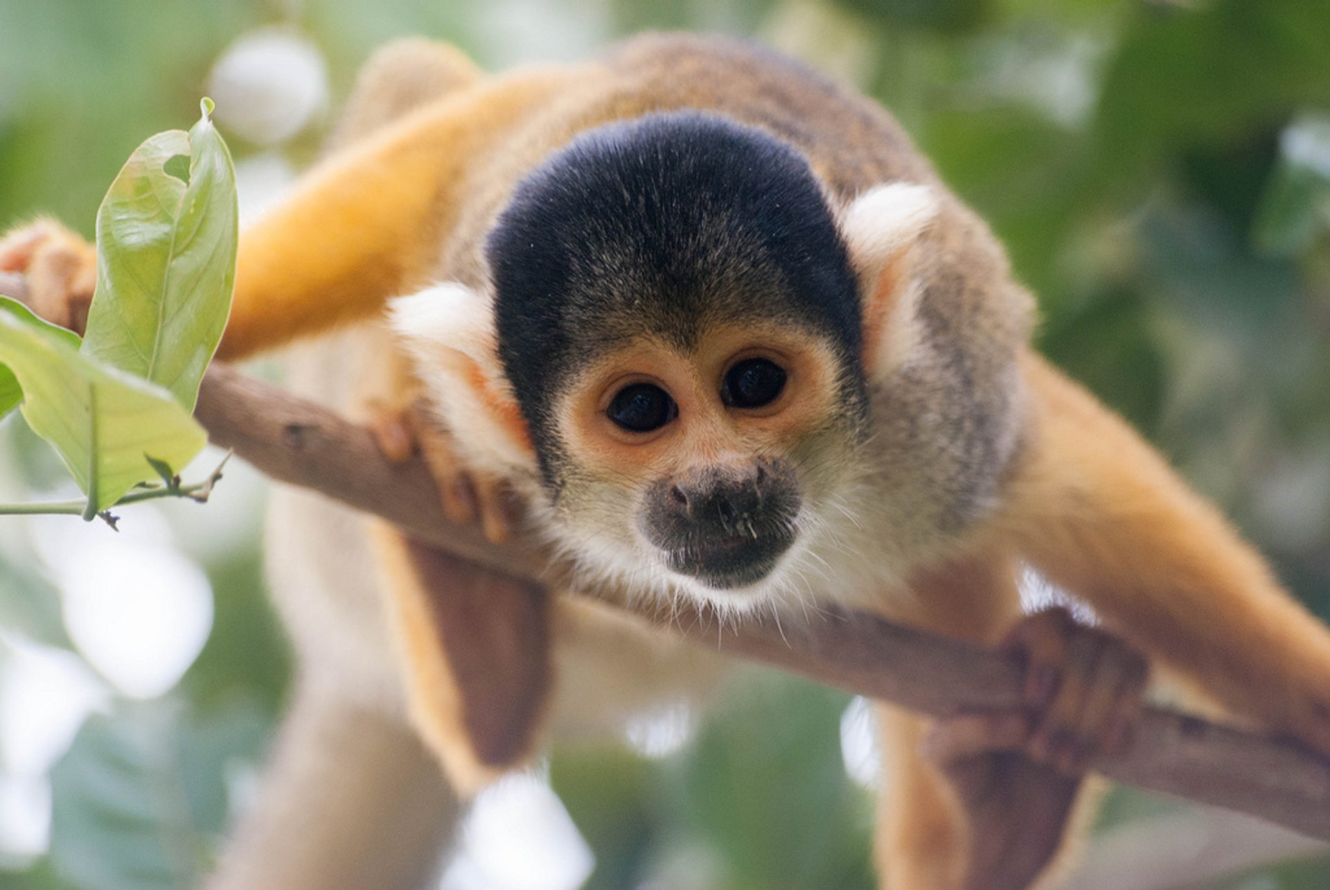 Squirrel Monkeys in Bolivia 2020 - Best Time