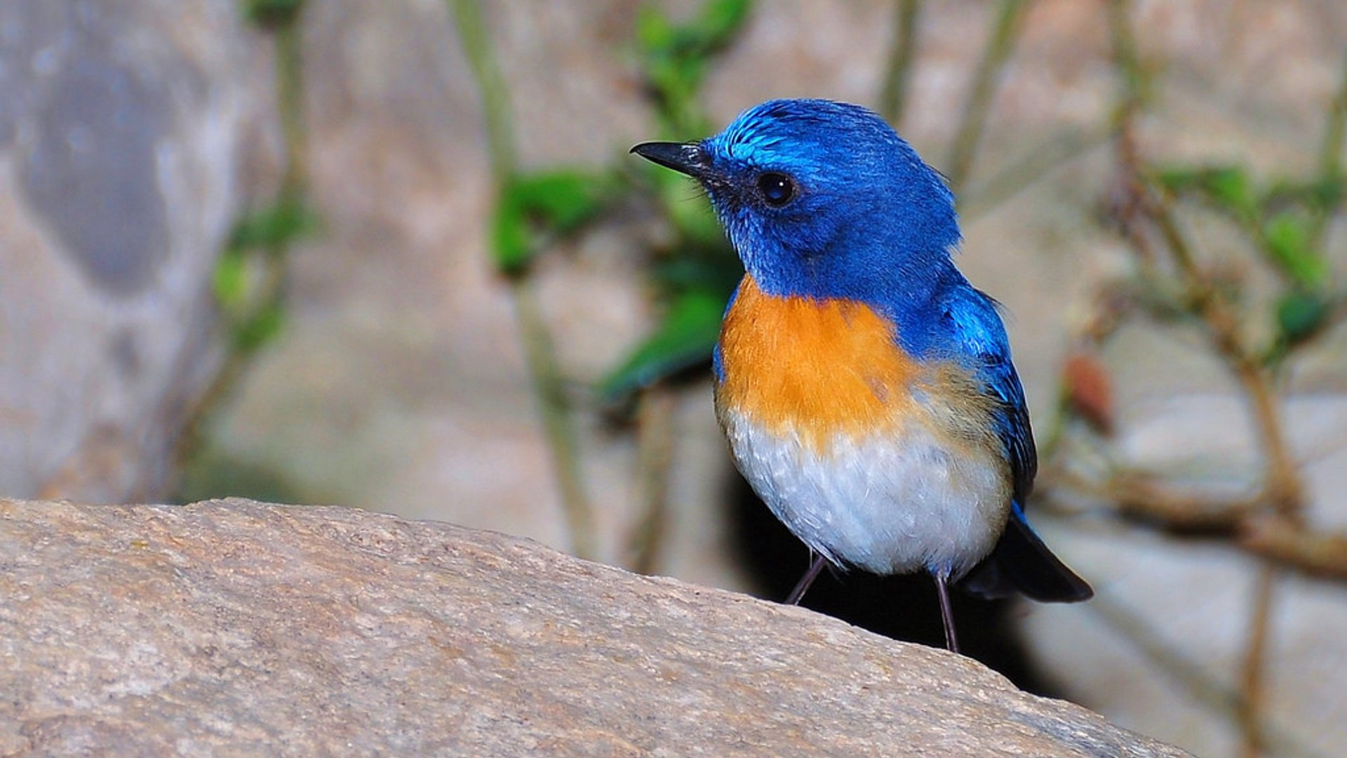 Blue-throated Flycatcher 2020