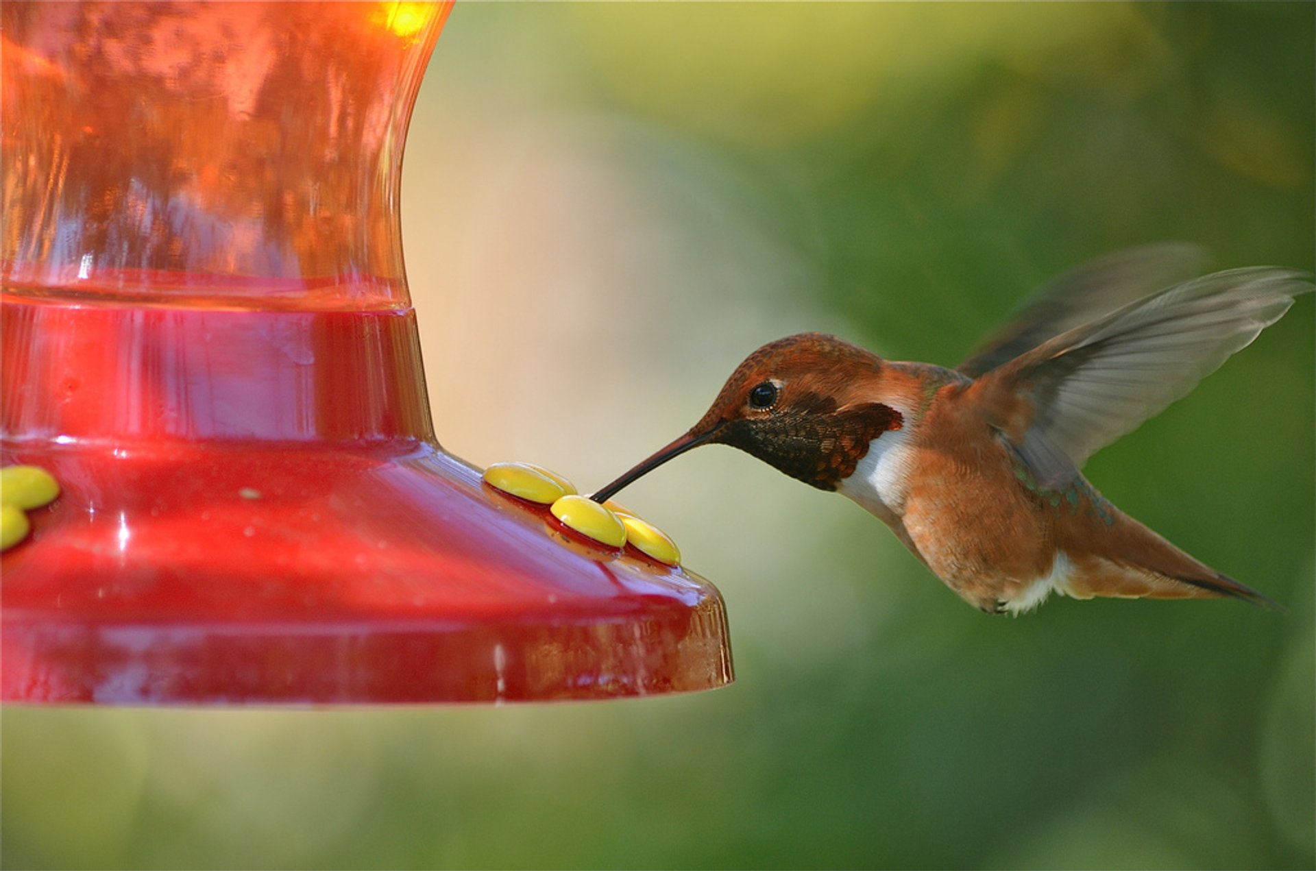 Rufous Hummingbird in North Hills, Los Angeles, CA 2020