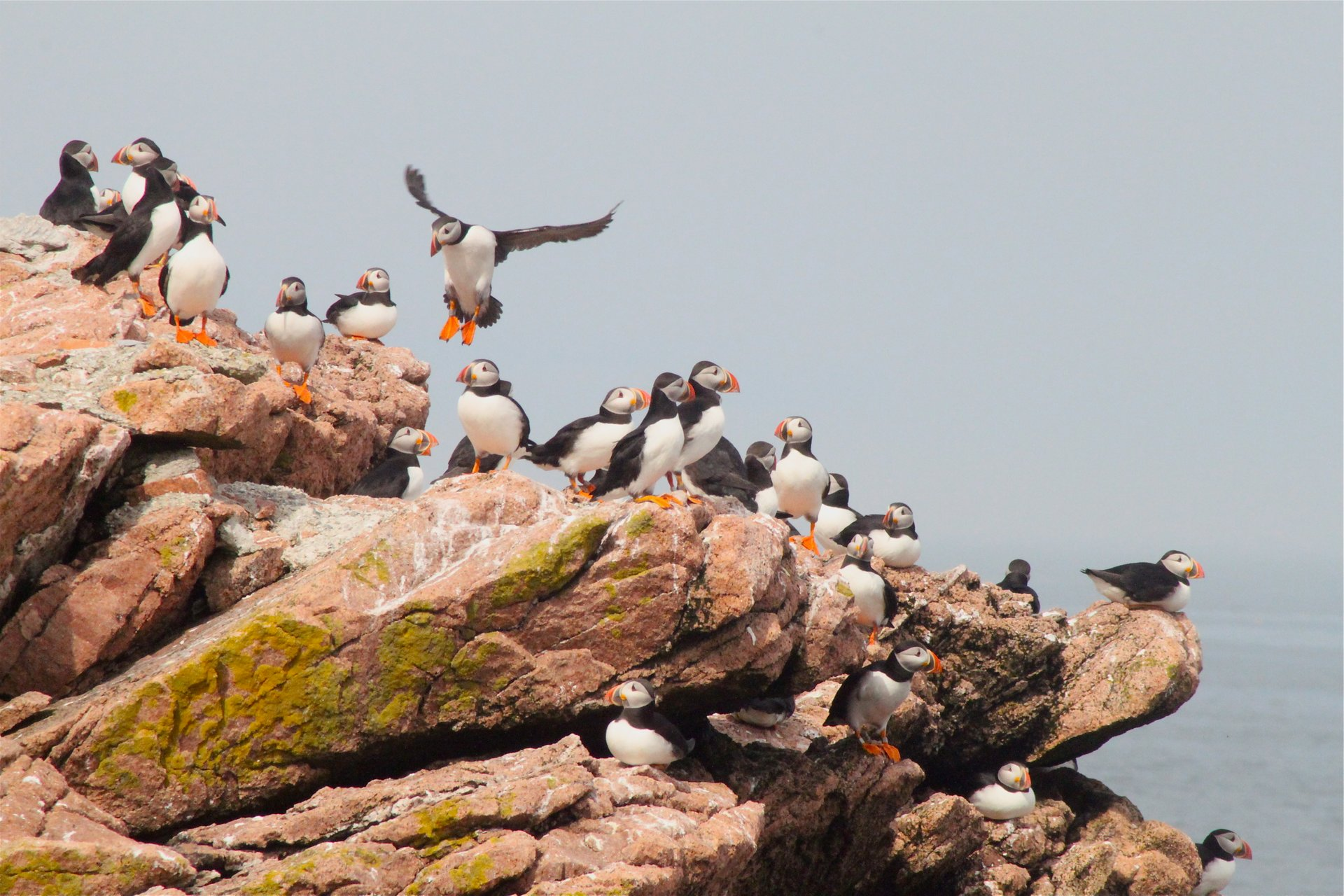 Puffin Watching in Maine - Best Season 2020