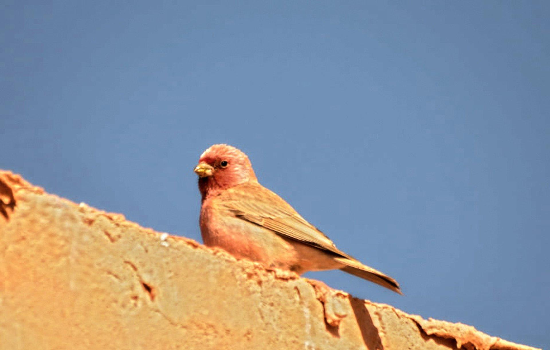 Sinai Rosefinch Finch 2020