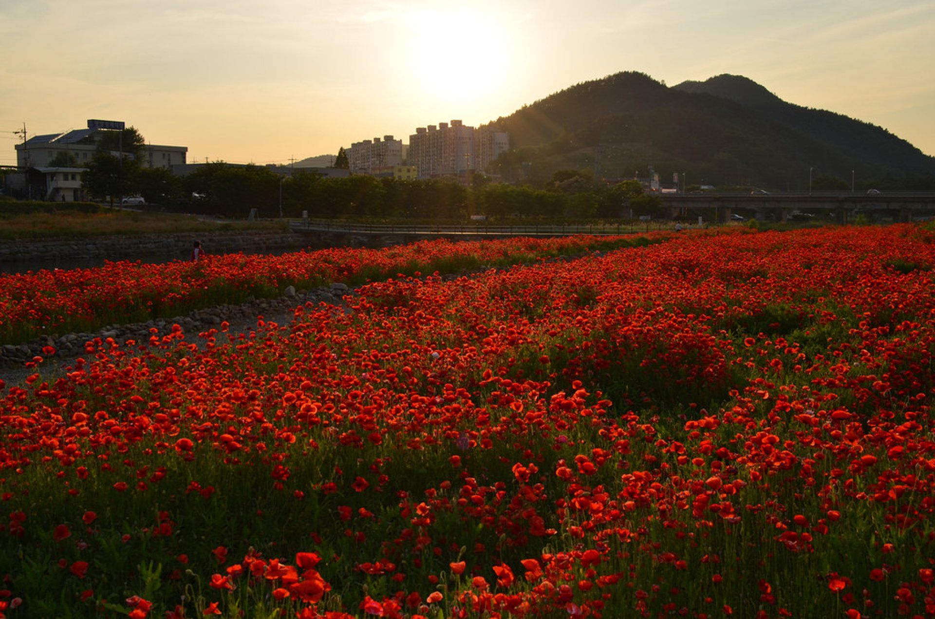 Poppy field sunset, Gwangyang-eup, Jeollanamdo, South Korea 2020