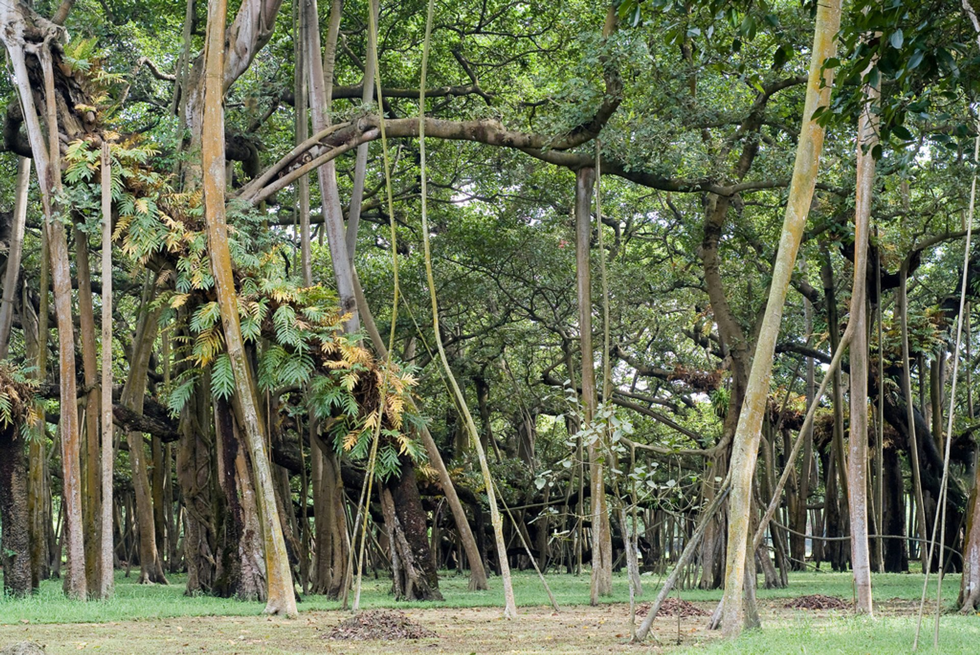 Great Banyan Tree in India - Best Time