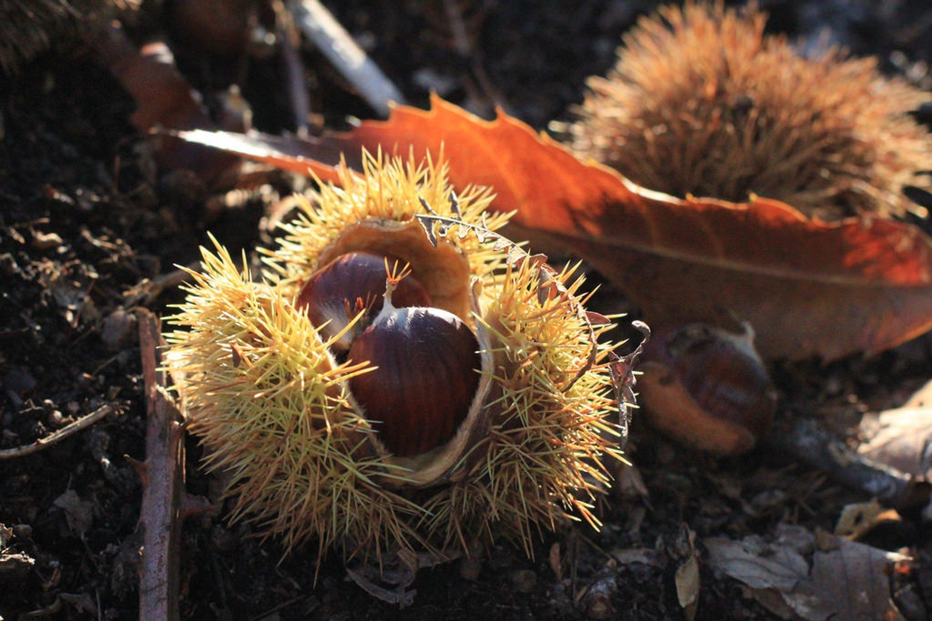 Chestnut Season in Corsica 2019 - Best Time